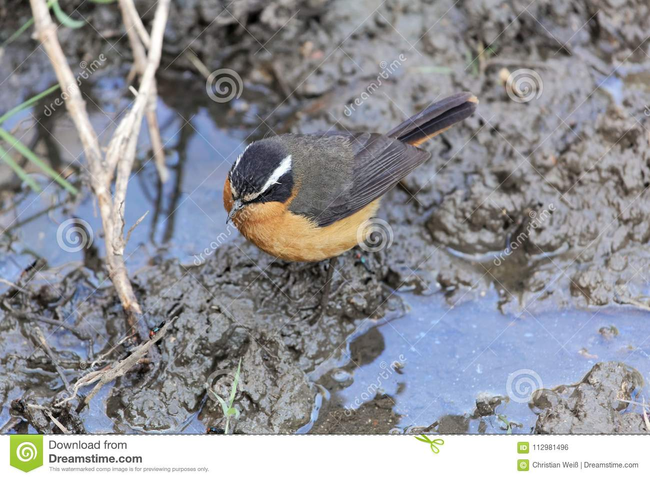 Rüppell`s robin-chat Cossypha semirufa