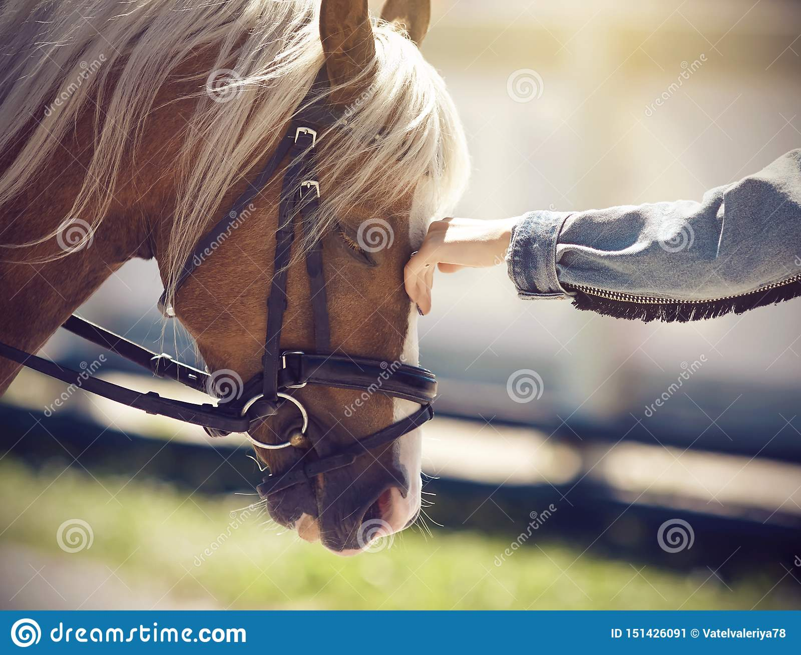 Ręka dziewczyna muska twarz koń z długą beżową grzywą