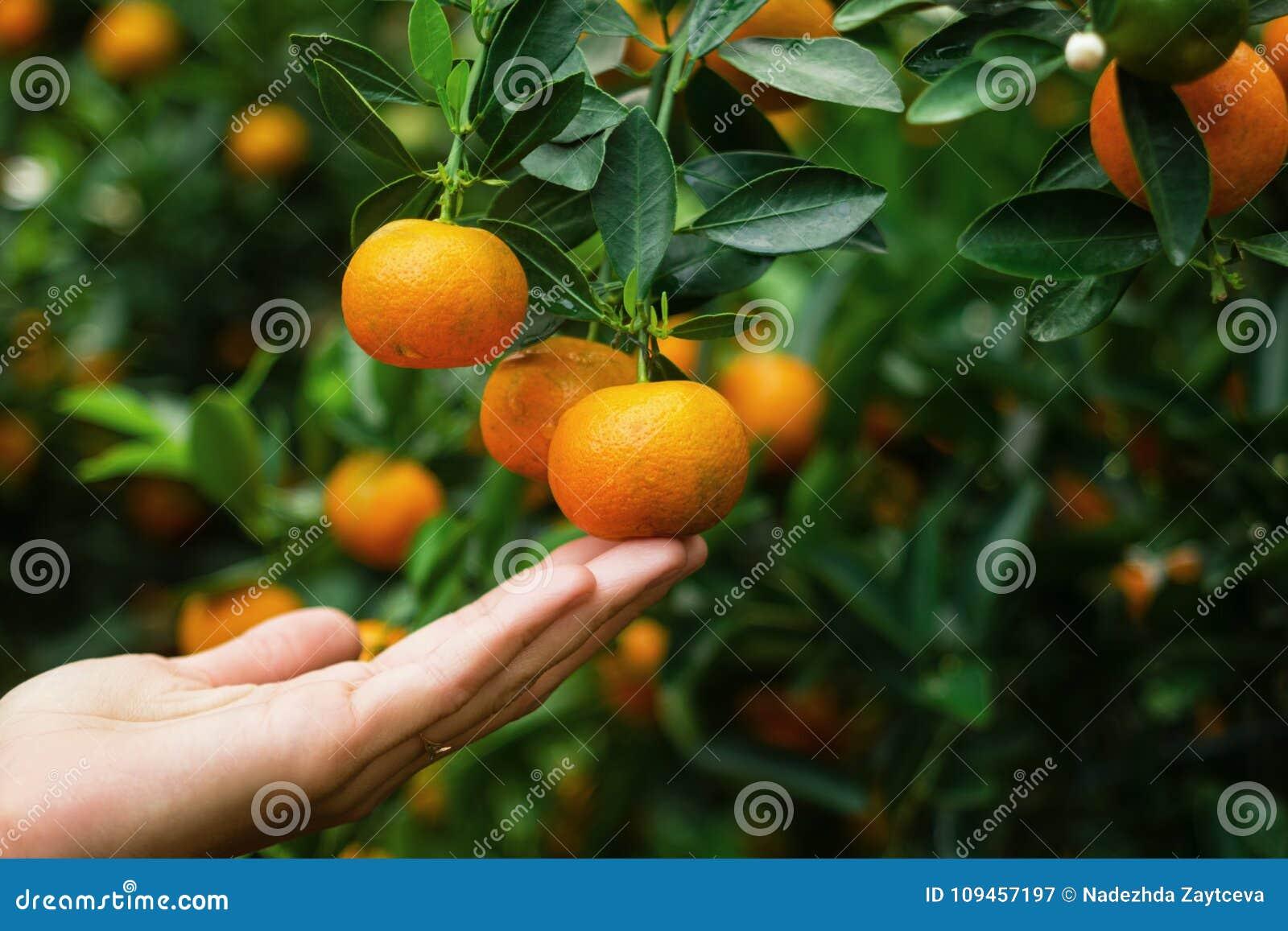 Ręka kobieta jest trzymać mandarynka od drzewa