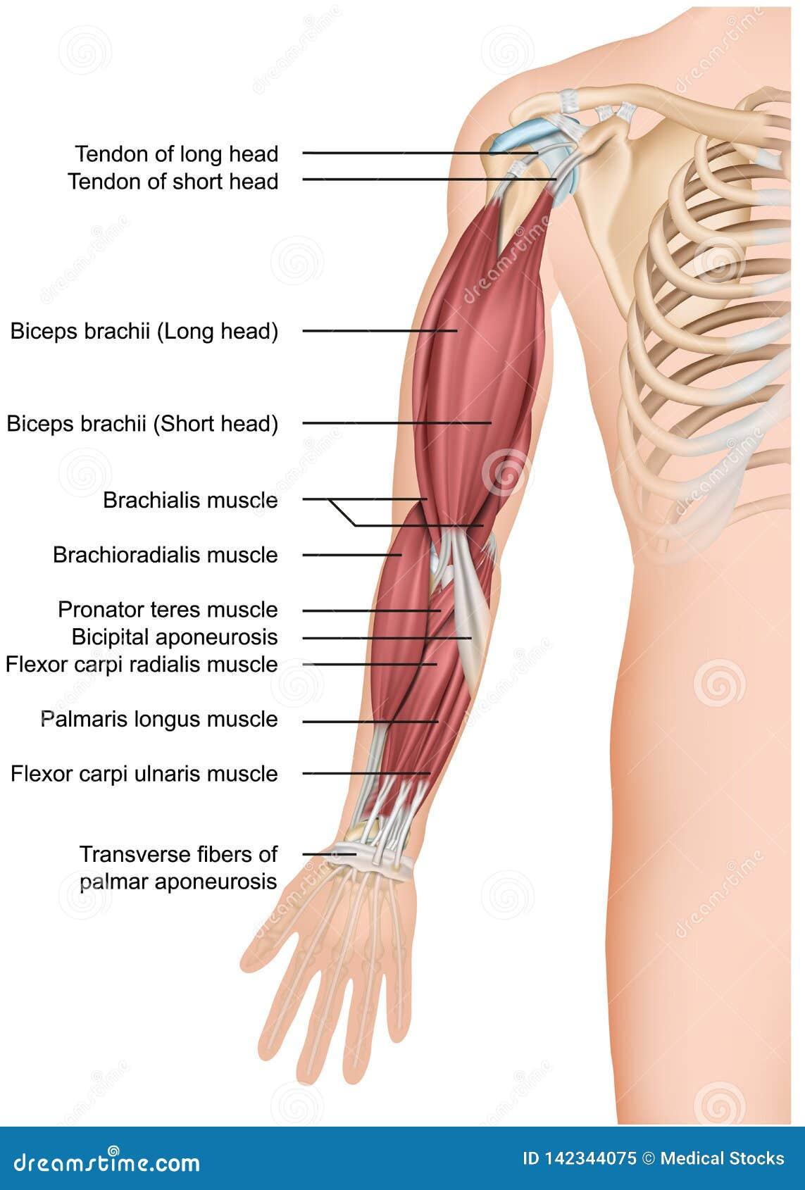 Ręka mięśnia anatomii 3d medyczny ilustracyjny przedramię