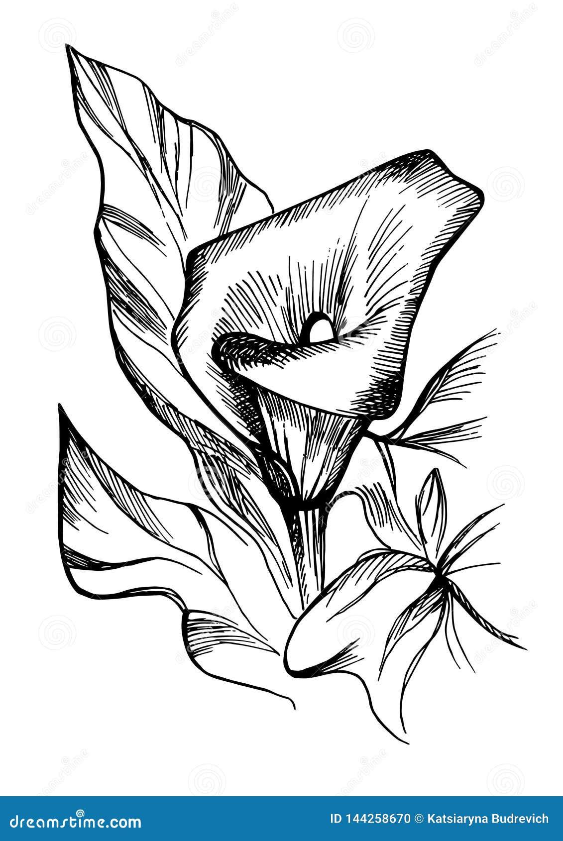 Ręka rysujący czarny i biały kwitnący kalia kwiaty