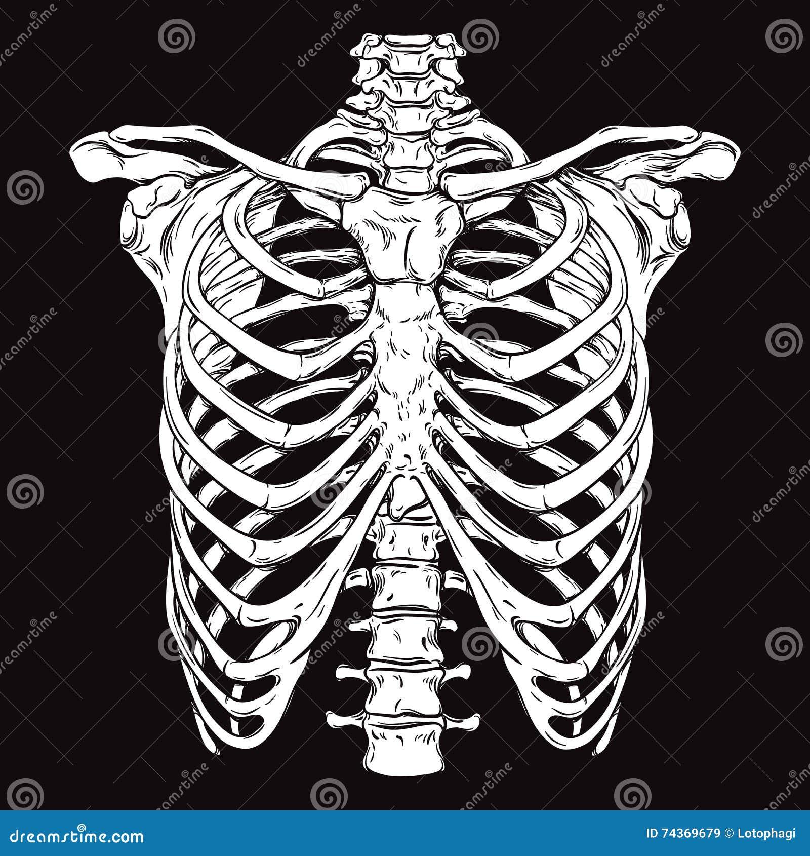 Ręka rysujący kreskowy sztuki anatomically poprawny ludzki ribcage