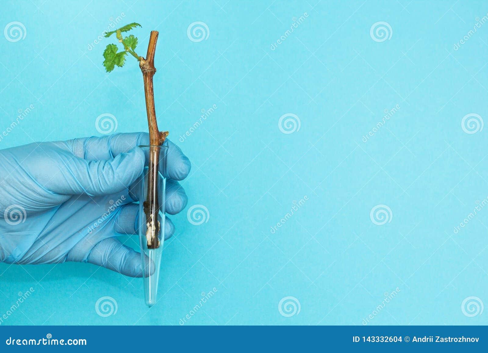 Ręka w błękitnej rękawiczce trzyma młodej rośliny w szklanej próbnej tubce na błękitnym tle, przestrzeń dla teksta Genetycznie zm