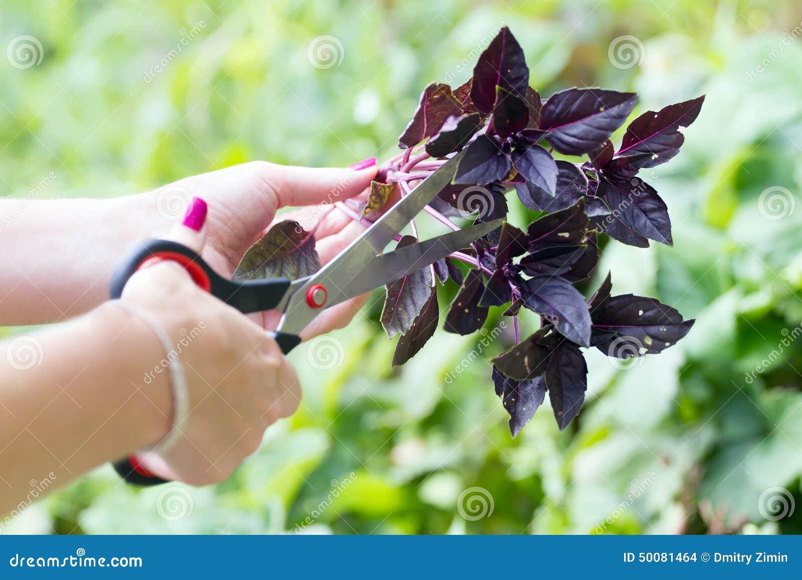 Ręka z basilem