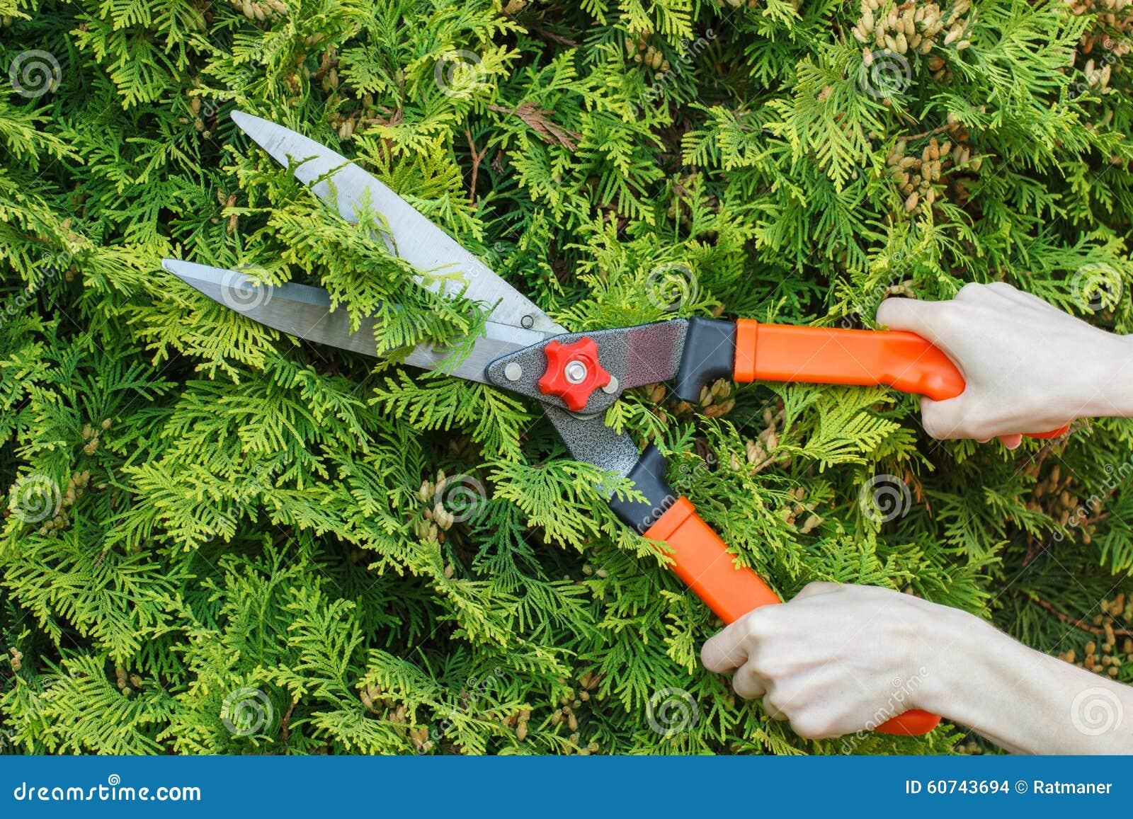 Ręki kobieta używają ogrodnictwa narzędzie żyłować krzaki