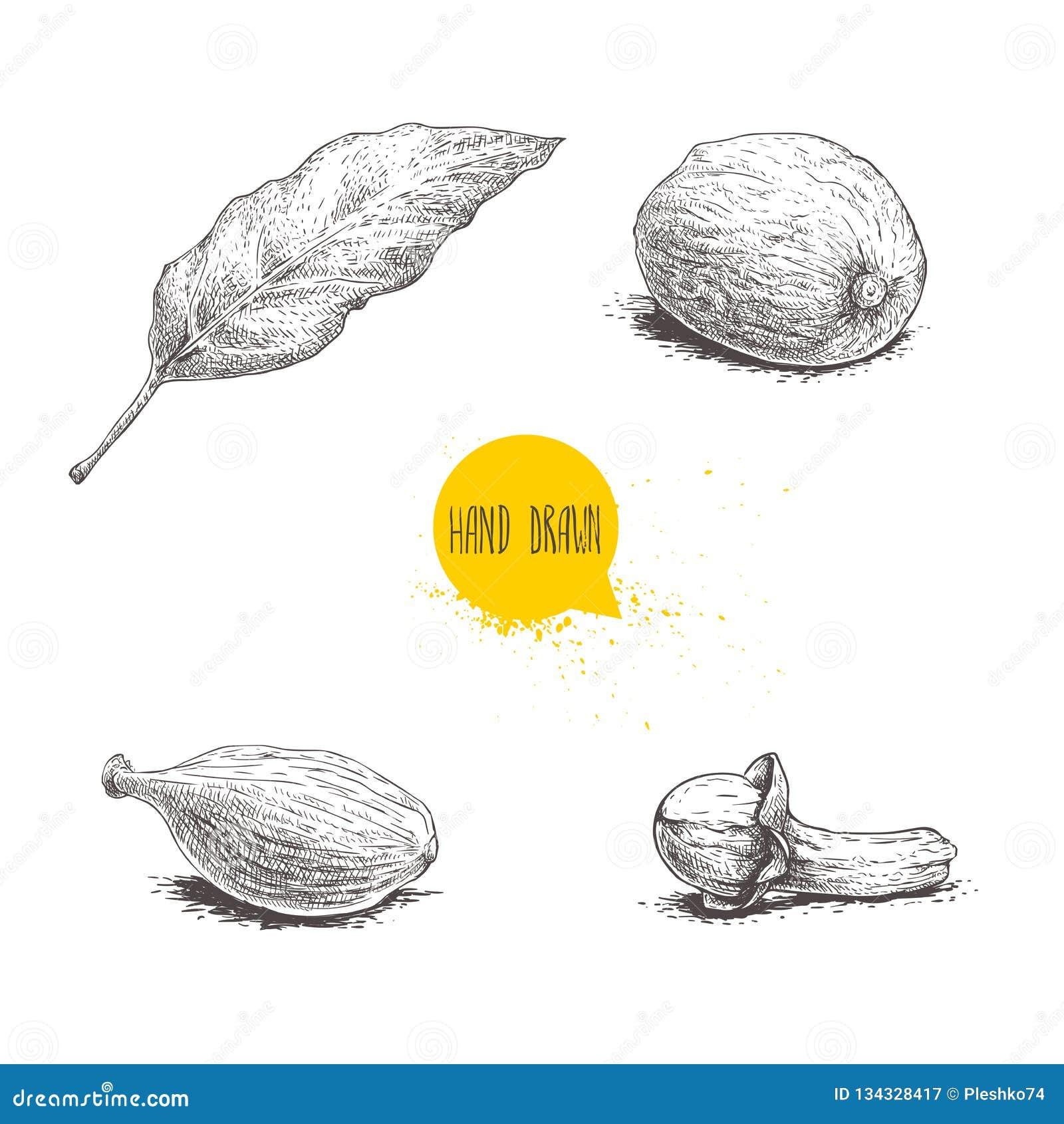 Ręki rysować nakreślenie pikantność ustawiać Podpalany liść, nutmeg, kardamon i goździkowy, Ziele, condiments i pikantność wektor