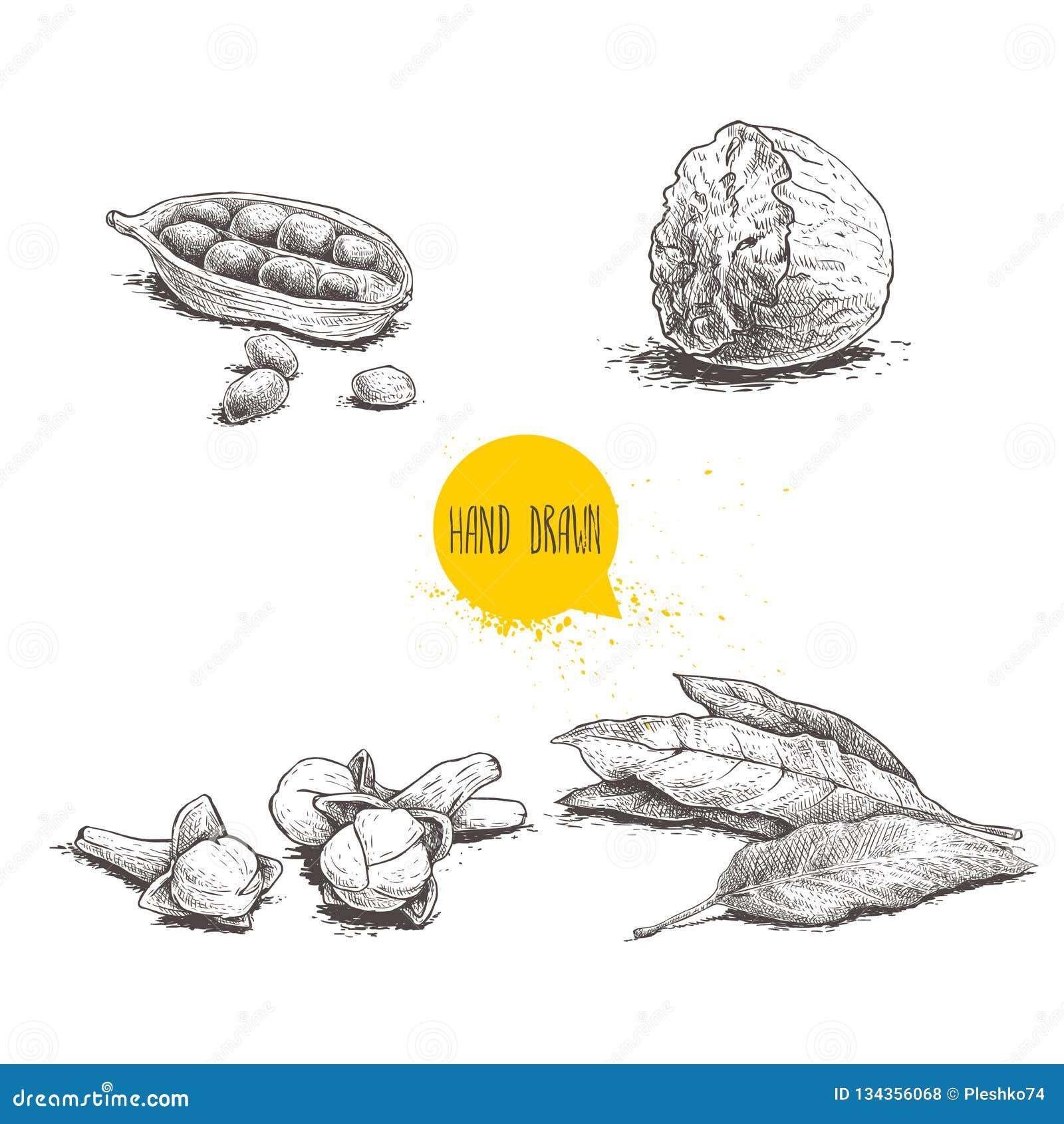 Ręki rysować nakreślenie pikantność ustawiać Zatoki liście, nutmeg, kardamon i cloves, Ziele, condiments i pikantność wektoru ilu