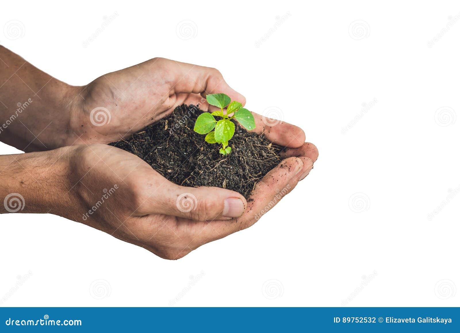 Ręki trzyma młodej zielonej rośliny, Odosobnionej na bielu Pojęcie ekologia, ochrona środowiska
