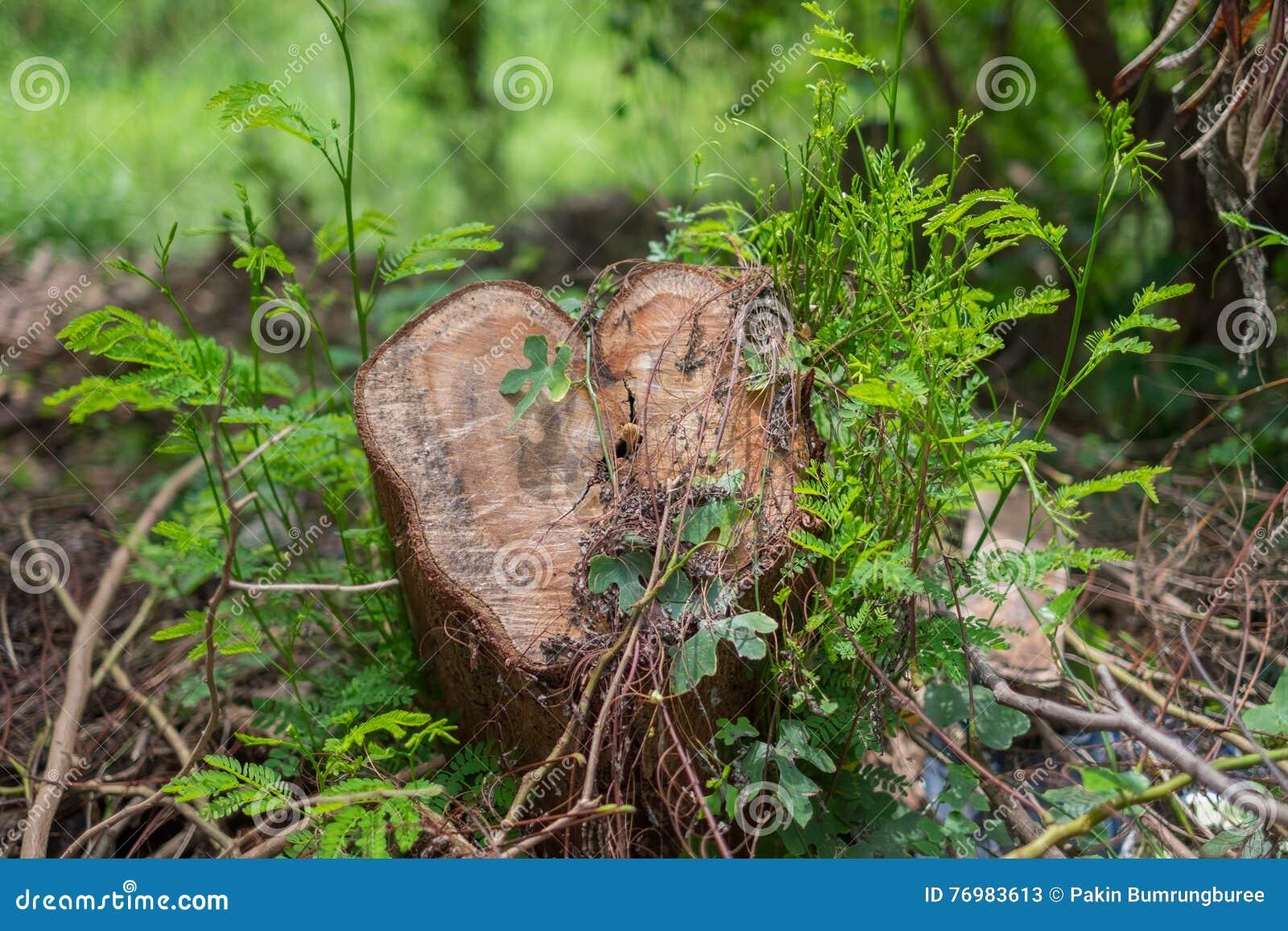 Rżnięty drzewo w lesie, Zakrywającym z roślinami