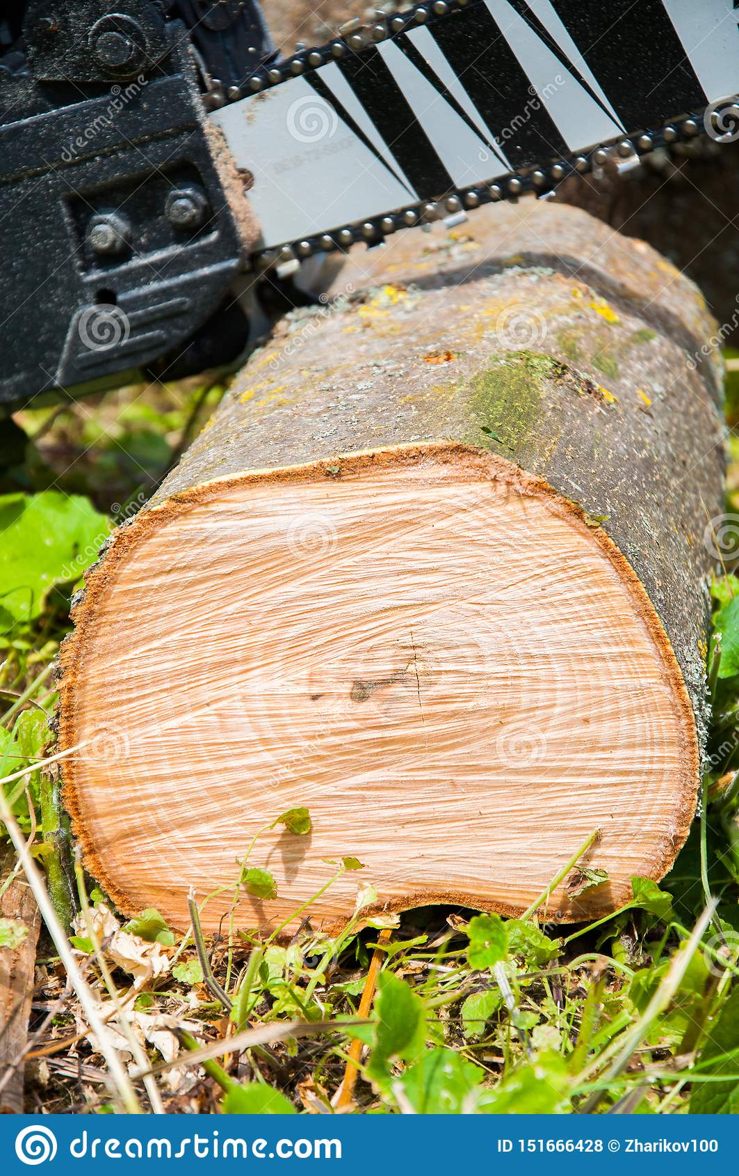 Rżnięty gęsty drzewny bagażnik Drewniana tekstura Piła łańcuchowa ciie drewno