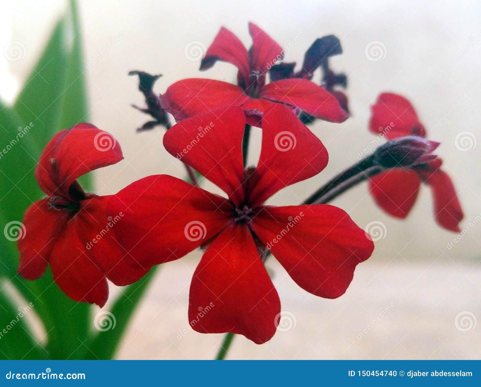 R?da blommor med fem kronblad
