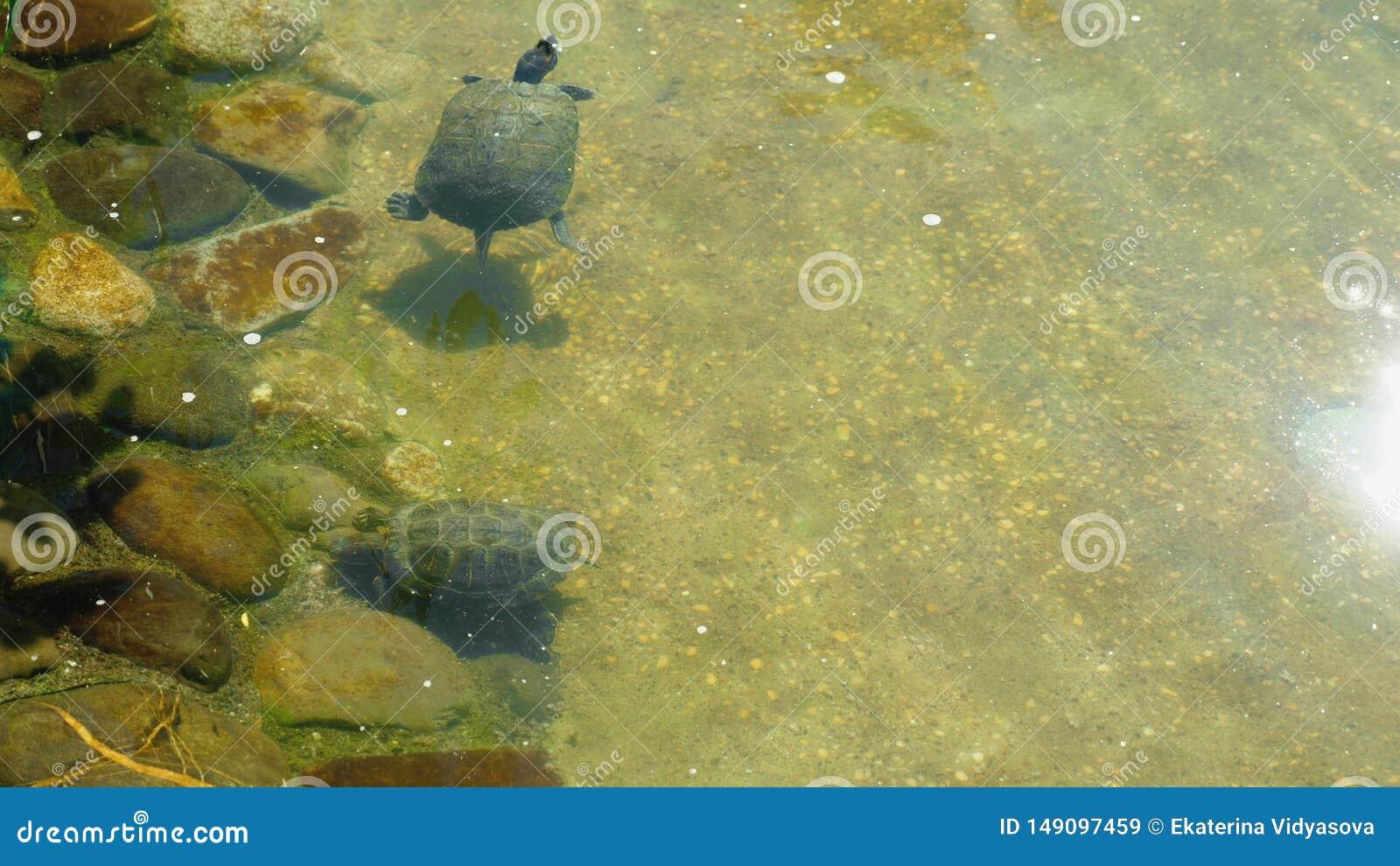 R?da g? i ax sk?ldpaddor simmar utom fara vatten av ett konstgjort damm utomhus