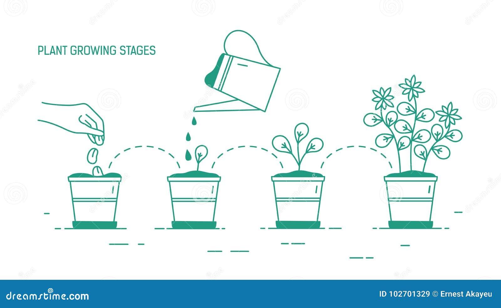 R fazy doniczkowa roślina - obsiewanie, kiełkowanie, podlewanie rozsady, kwitnie Etap życia rysujący houseplant