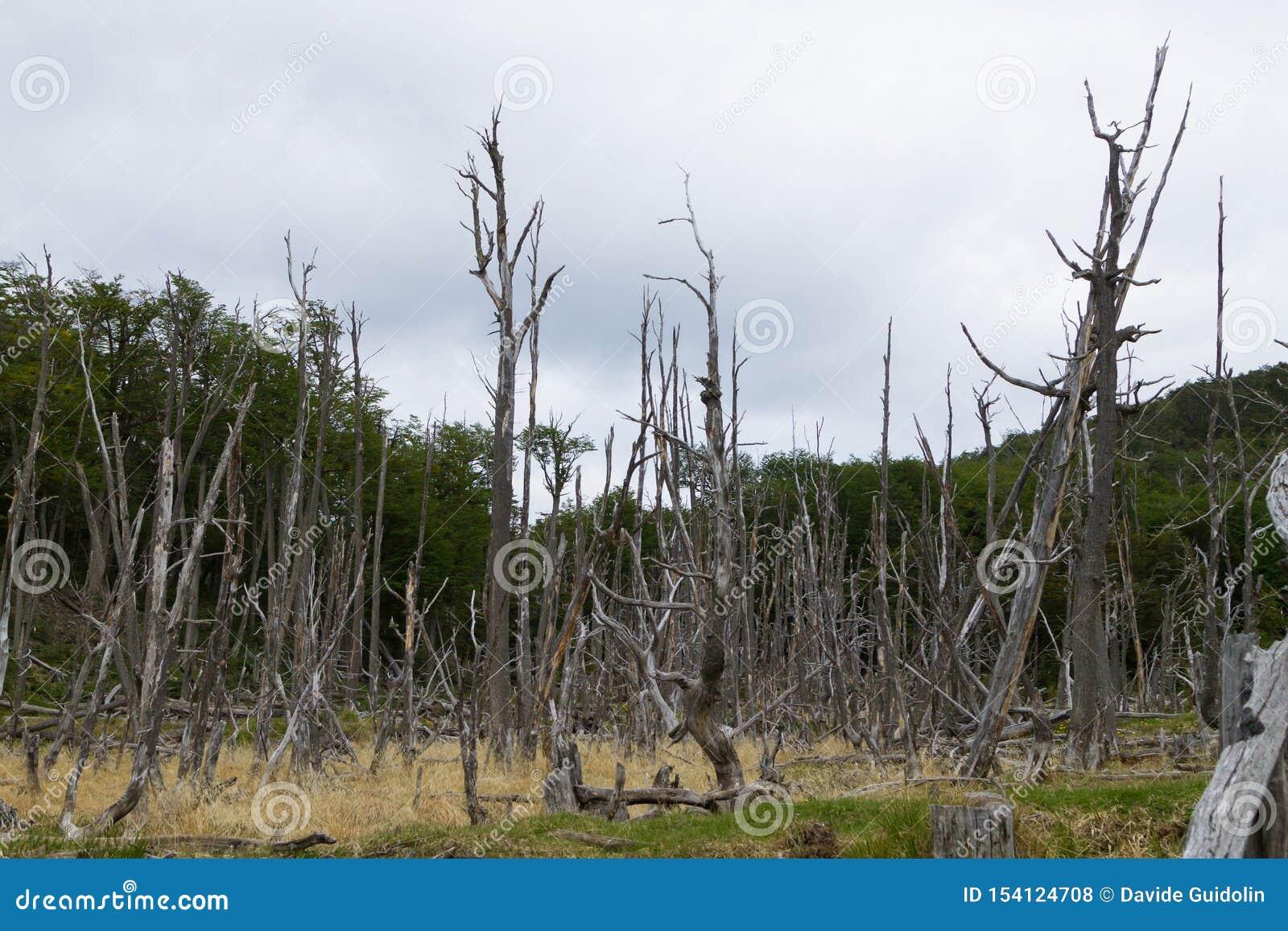 R?gion bois?e d?truite par des castors, parc de Tierra del Fuego, Argentine