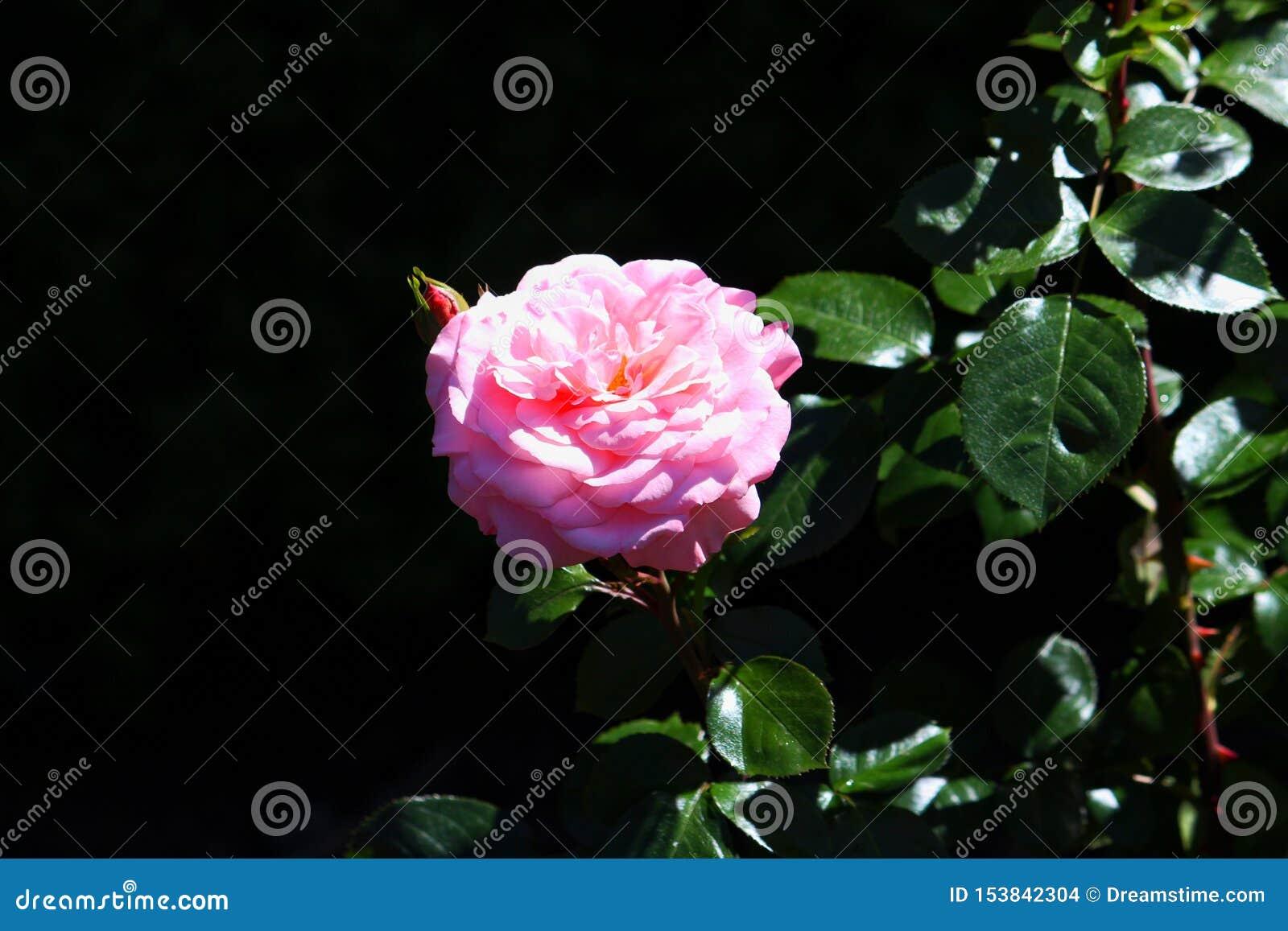 R??owy kwiat