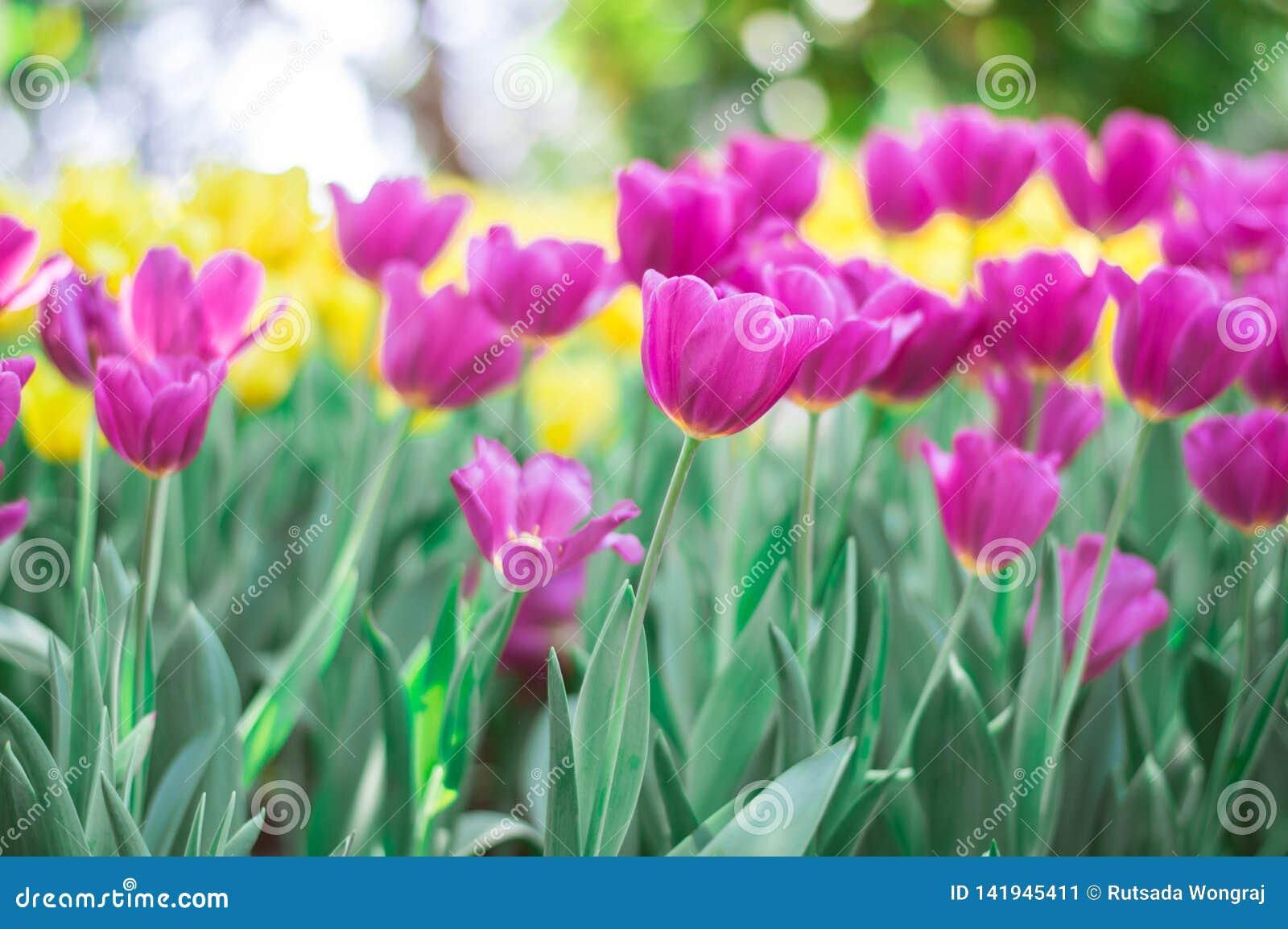 R??owy tulipanu kwiat w ogr?dzie