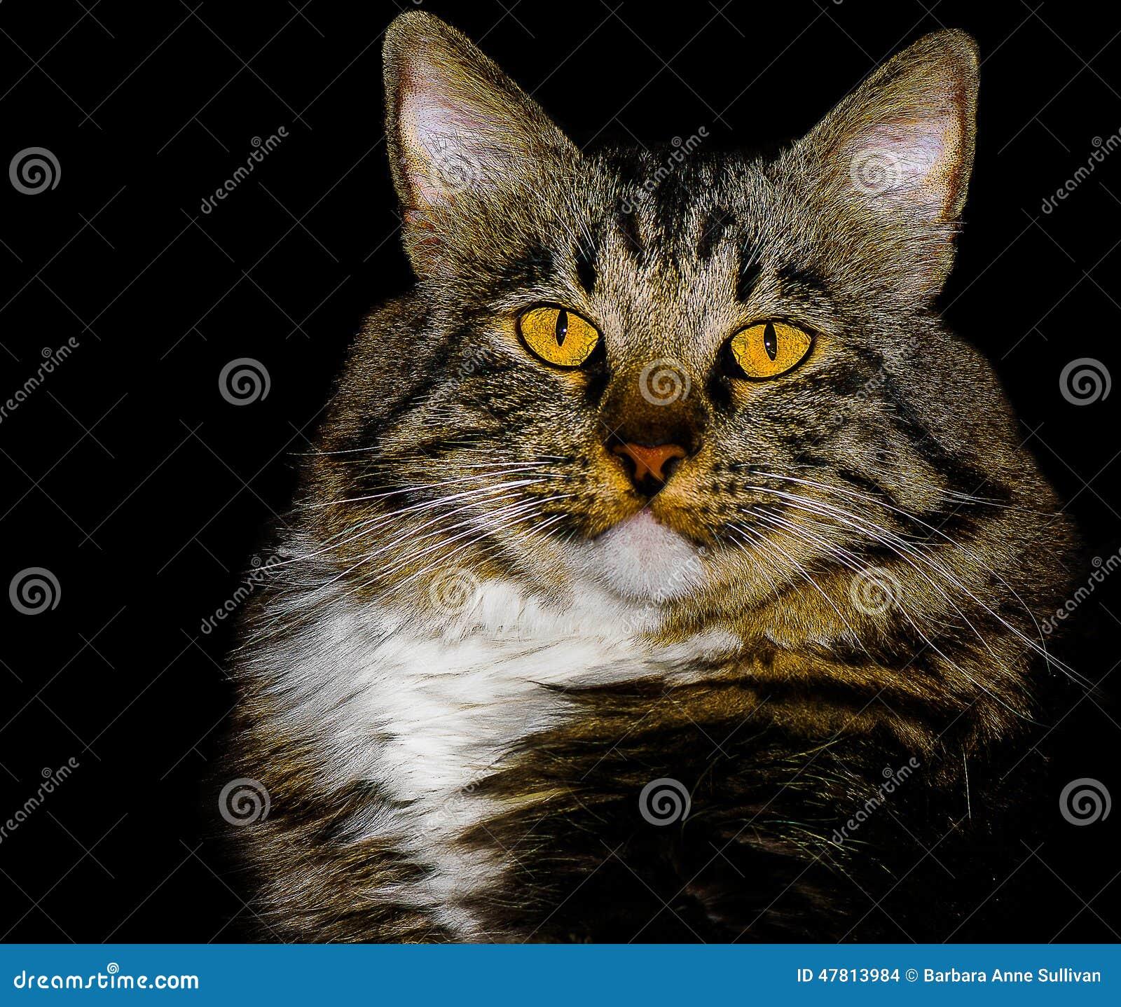 Raça Cat With Stunning Yellow Eyes da mistura do rabo cortado do americano