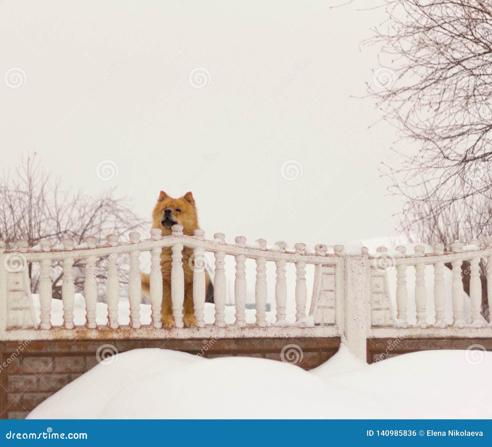A raça Chow Chow do cão olha a rua atrás da cerca