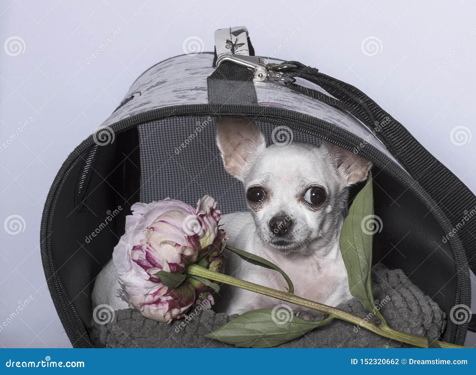 Raça do cão da chihuahua em uma cabine e com uma peônia