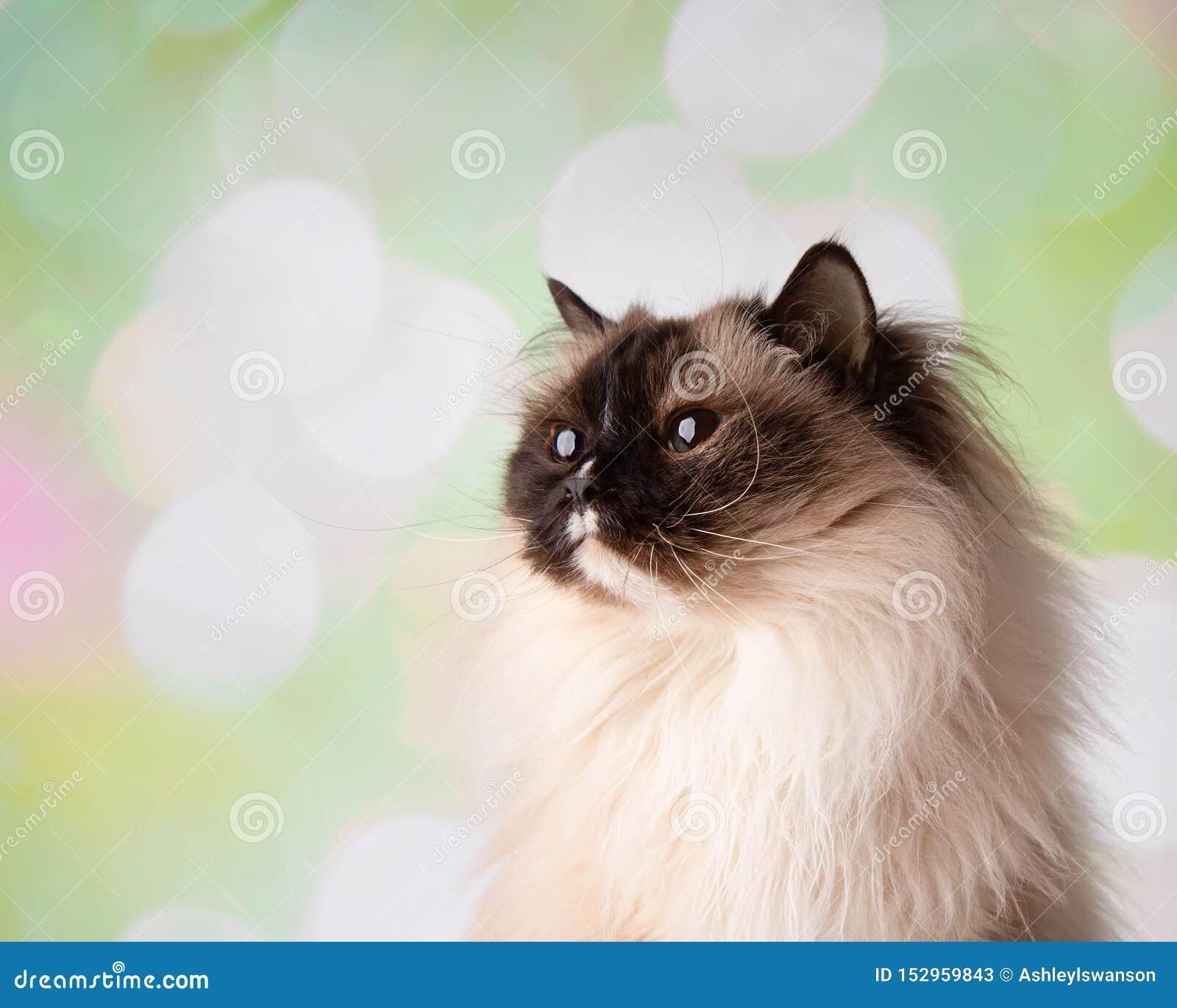 Raça Eyed azul Cat Close Up Face Looking de Ragdoll acima