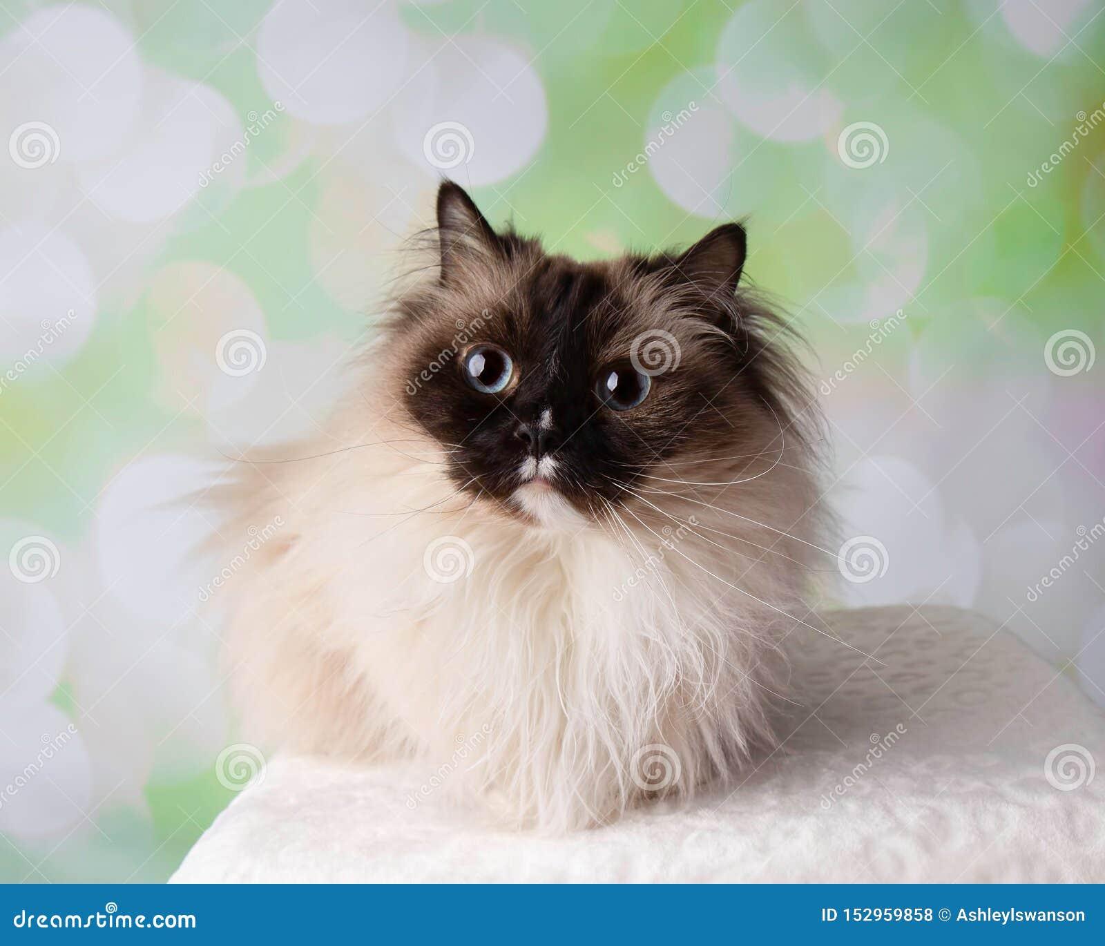 Raça Eyed azul Cat Lying Down Wide Eyes de Ragdoll