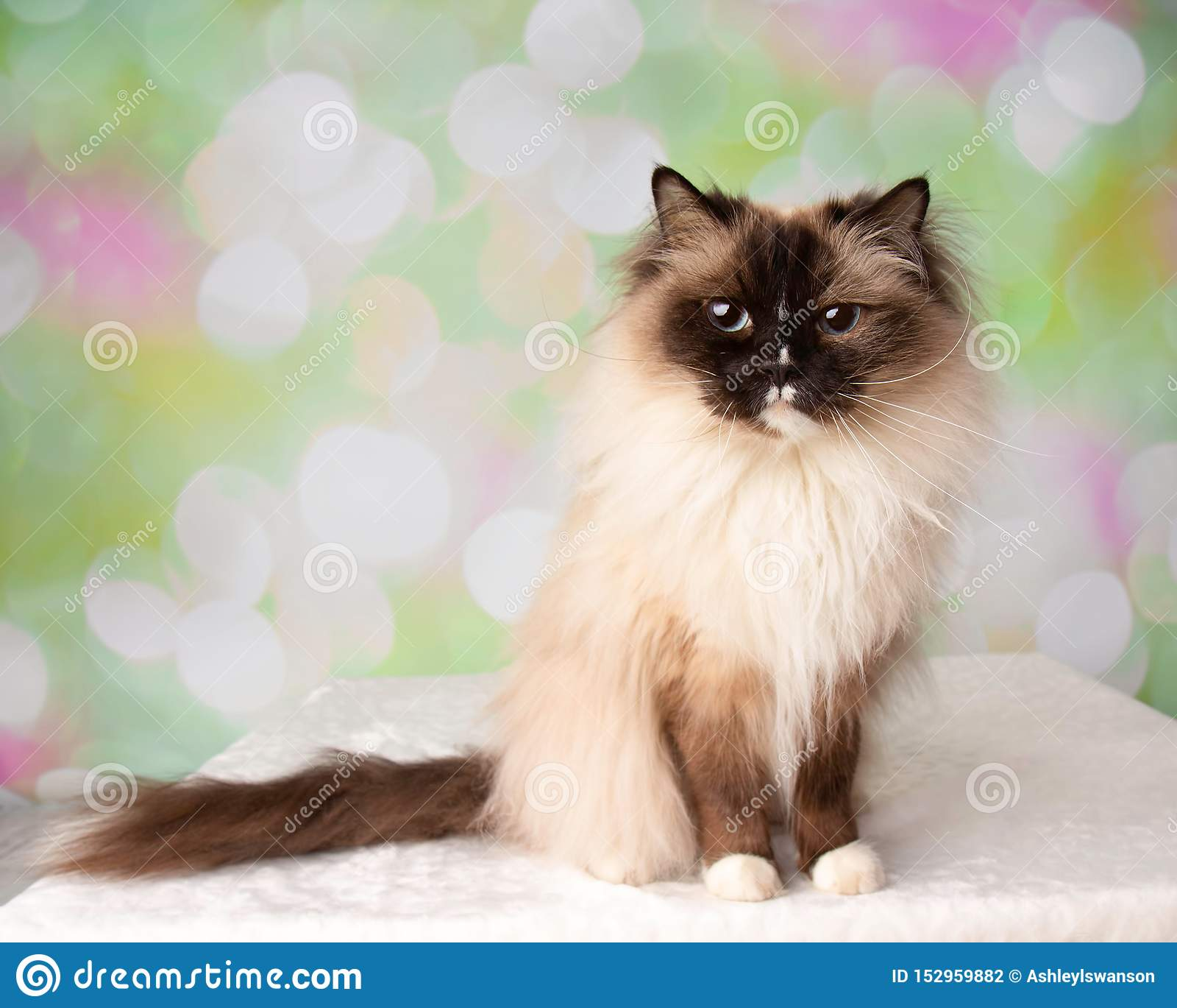 Raça Eyed azul Cat Sitting de Ragdoll com cauda
