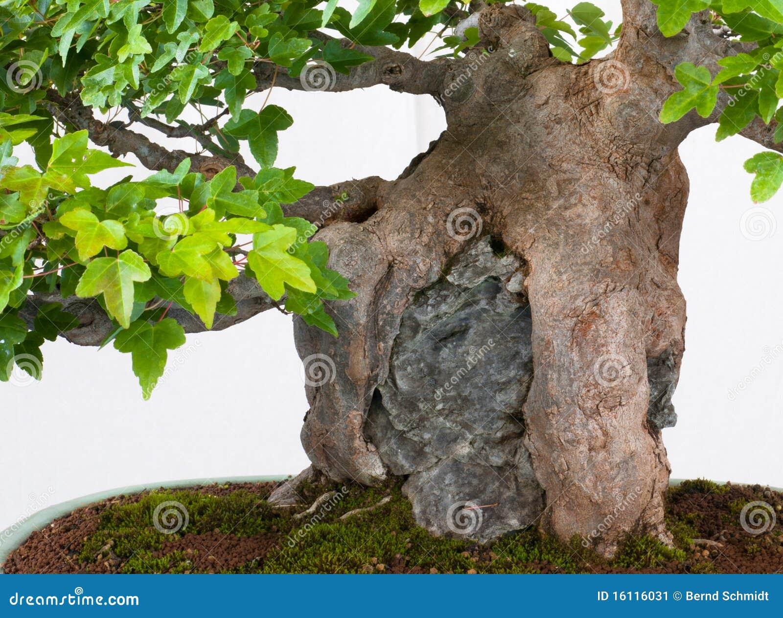 Raíces De Un árbol De Arce Como Bonsais Imagen De Archivo Imagen