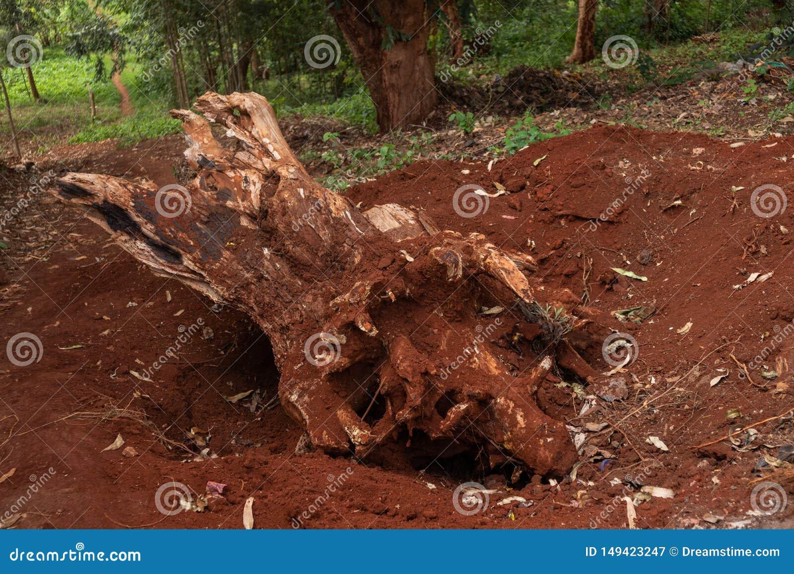 Raíz del árbol cavada de la tierra