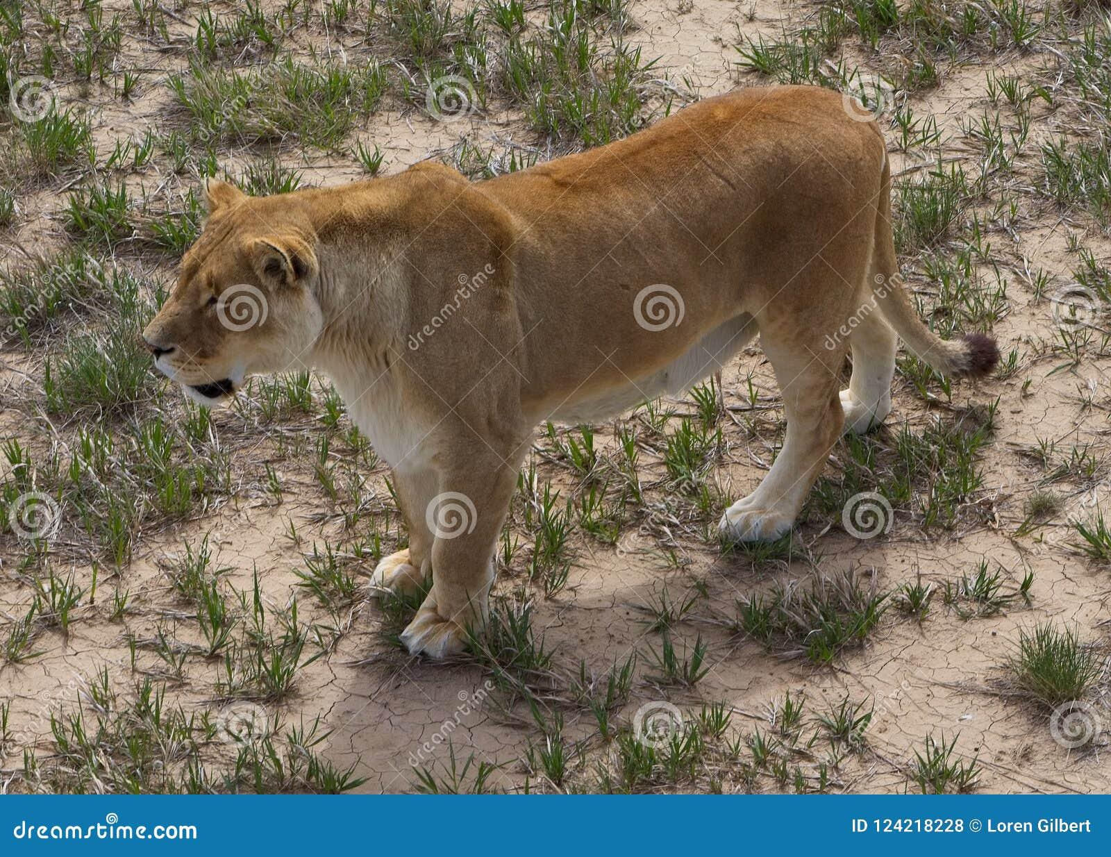 Raźna lwica na obszarach trawiastych