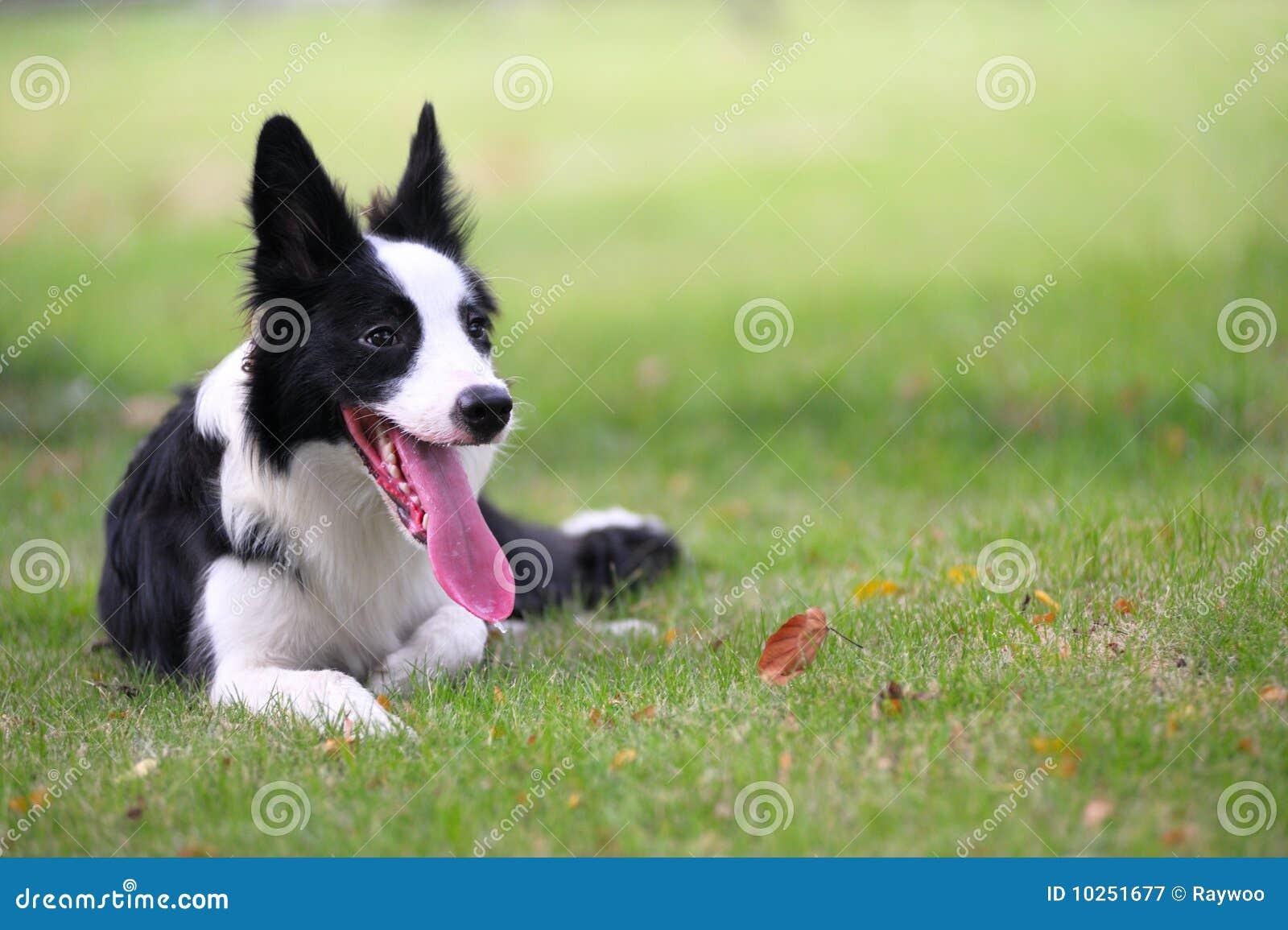 Rabatowego collie pies