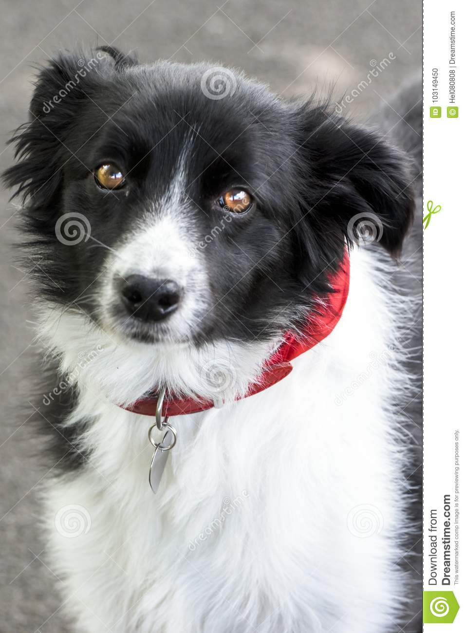 Rabatowy Collie
