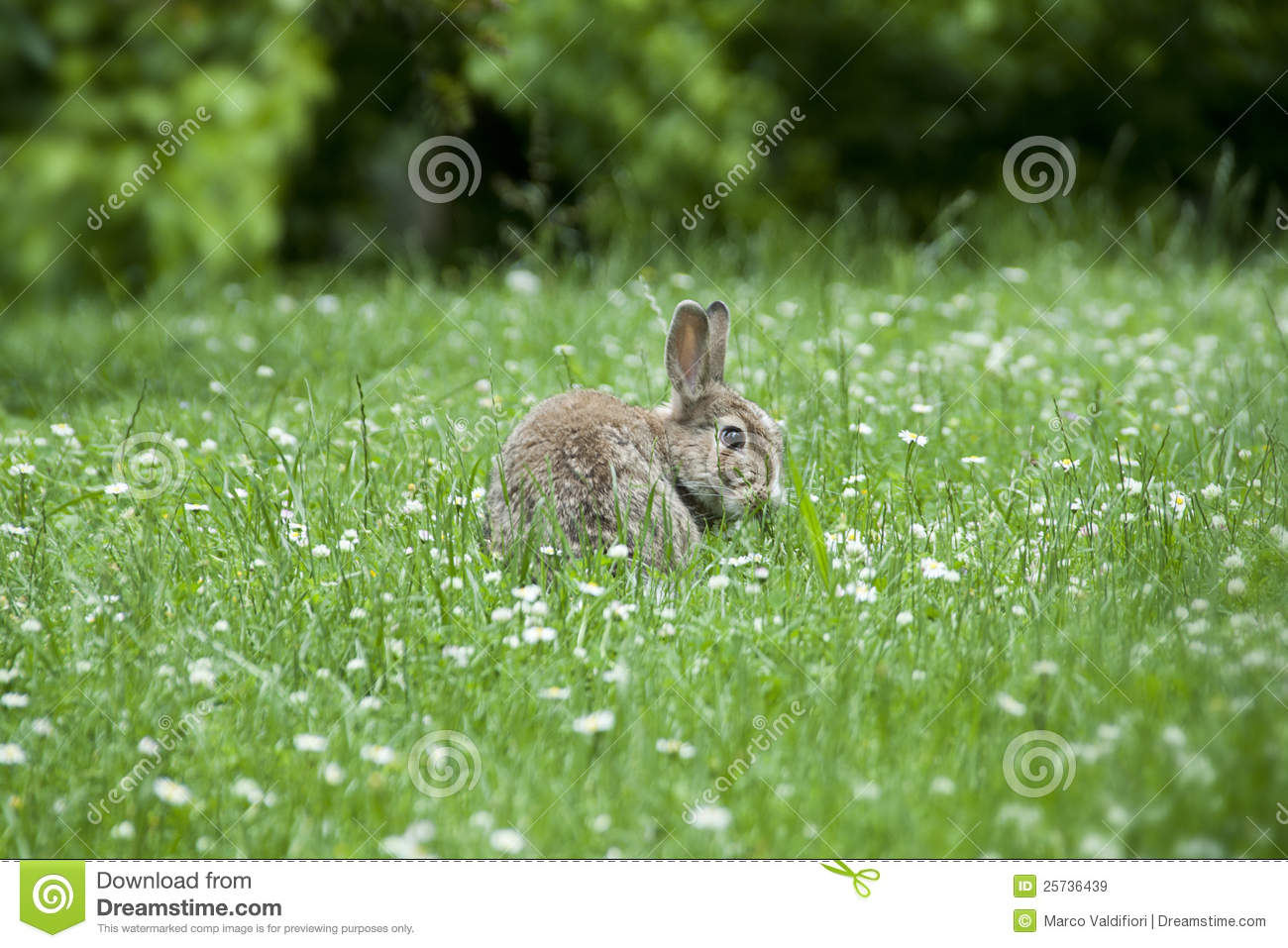 A rabbit among the daisies