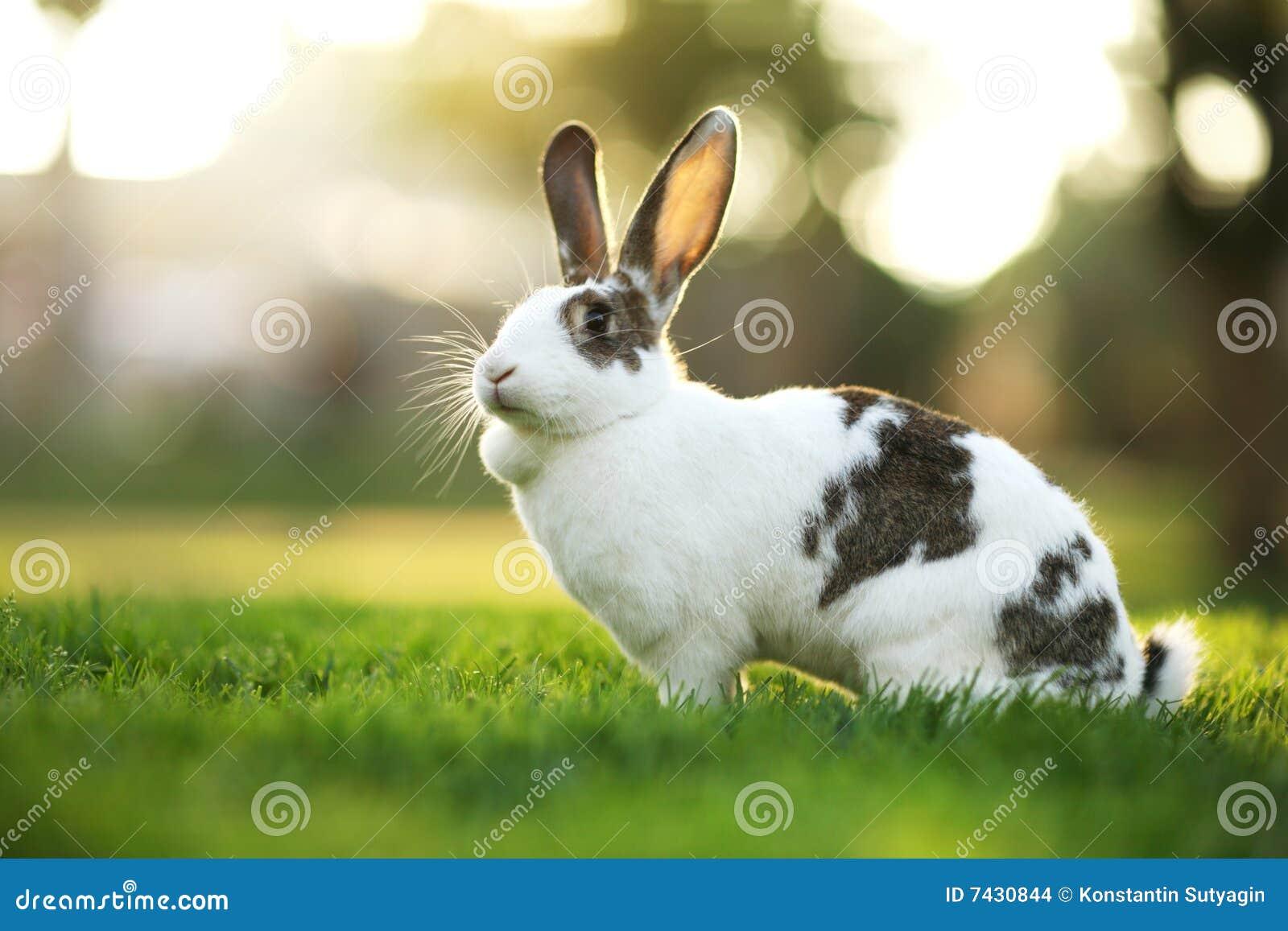 Rabbit on grass