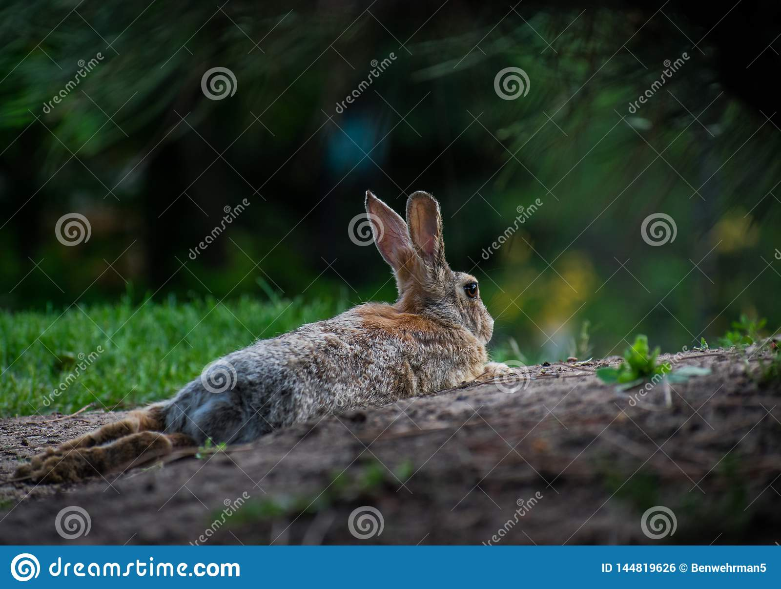 Rabbit Laying Down in the Dirt