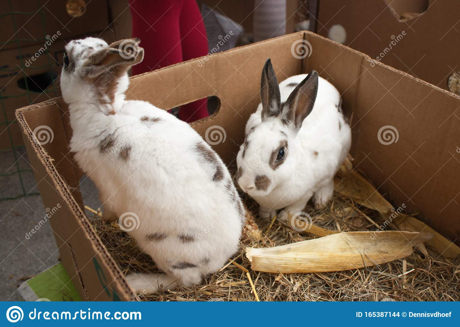 Rabbits on the animal market in Mol, Belgium.