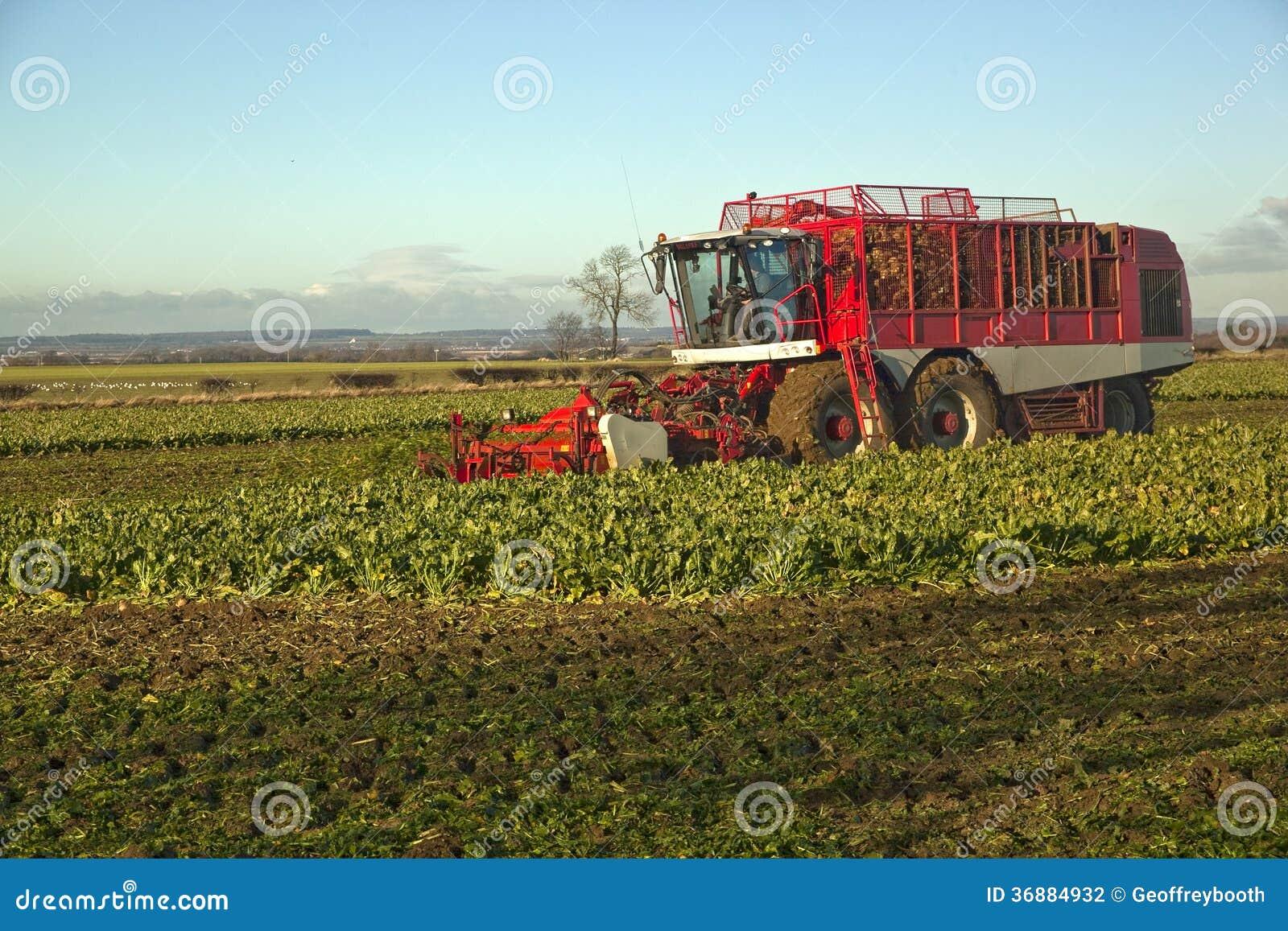 Download Raccogliendo Barbabietola Da Zucchero, In Lincolnshire, Il Regno Unito Fotografia Stock - Immagine di proteina, verde: 36884932