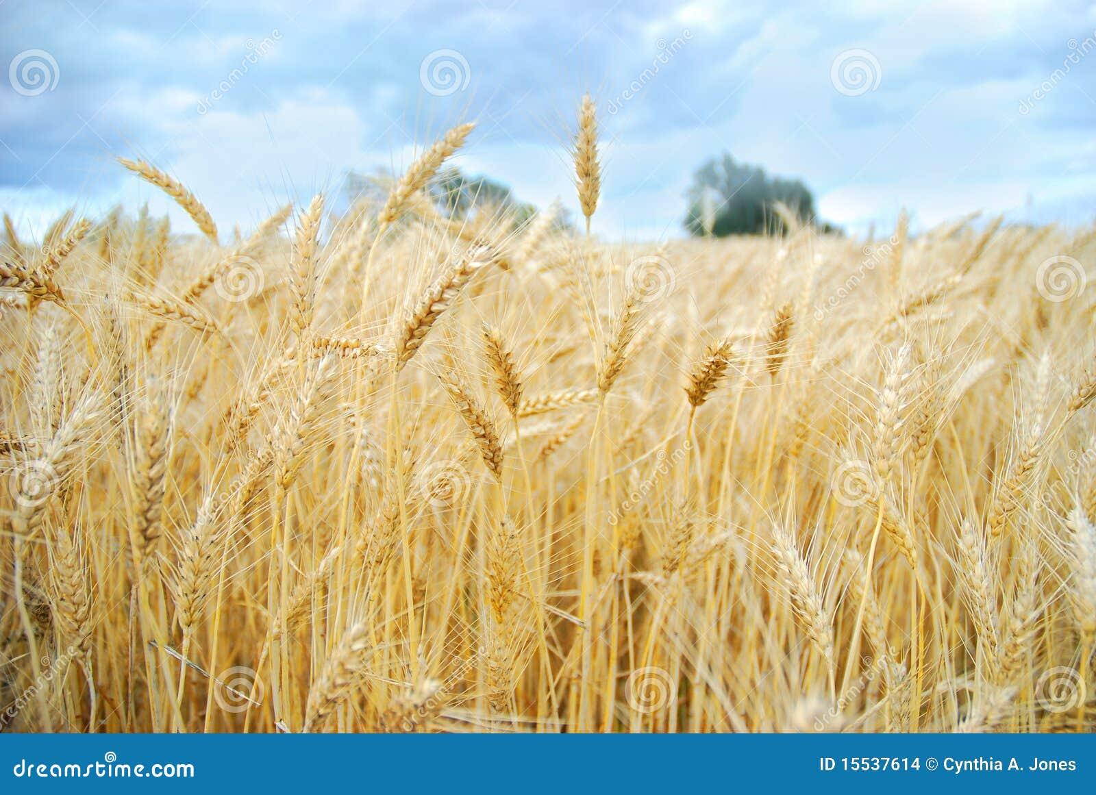 Raccolta del campo di frumento