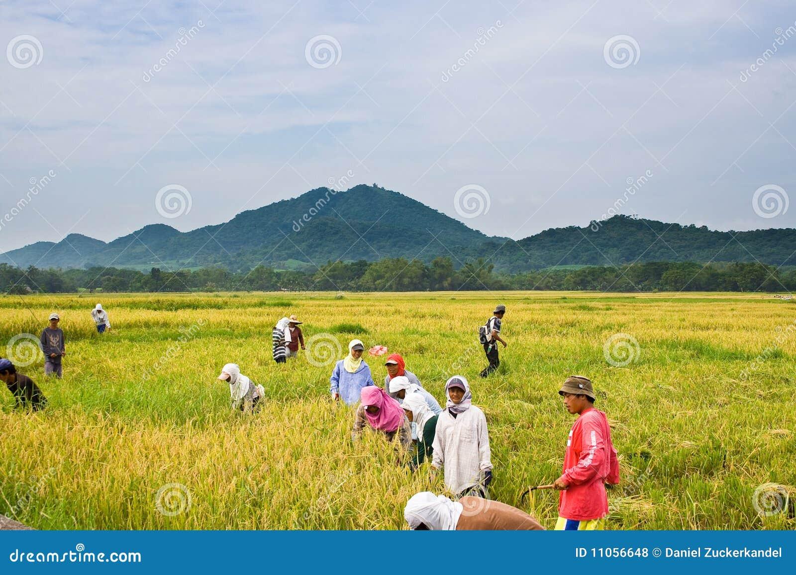 Raccolta del riso