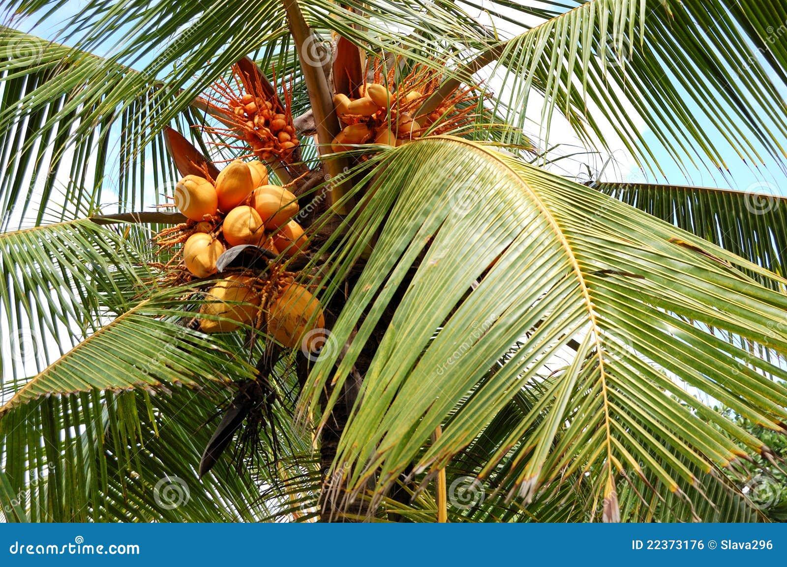 Raccolta della palma di noce di cocco con la frutta gialla - Palma di cocco ...