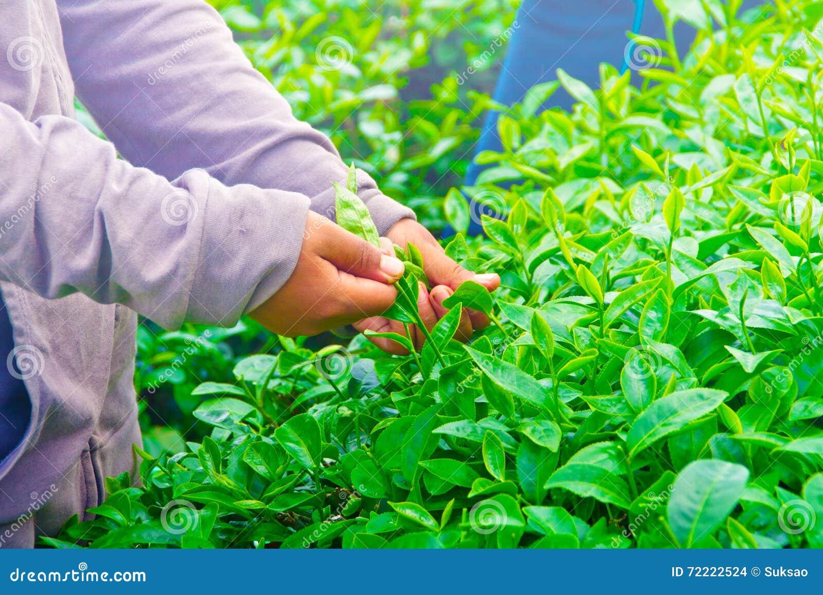 Raccolta delle foglie di tè