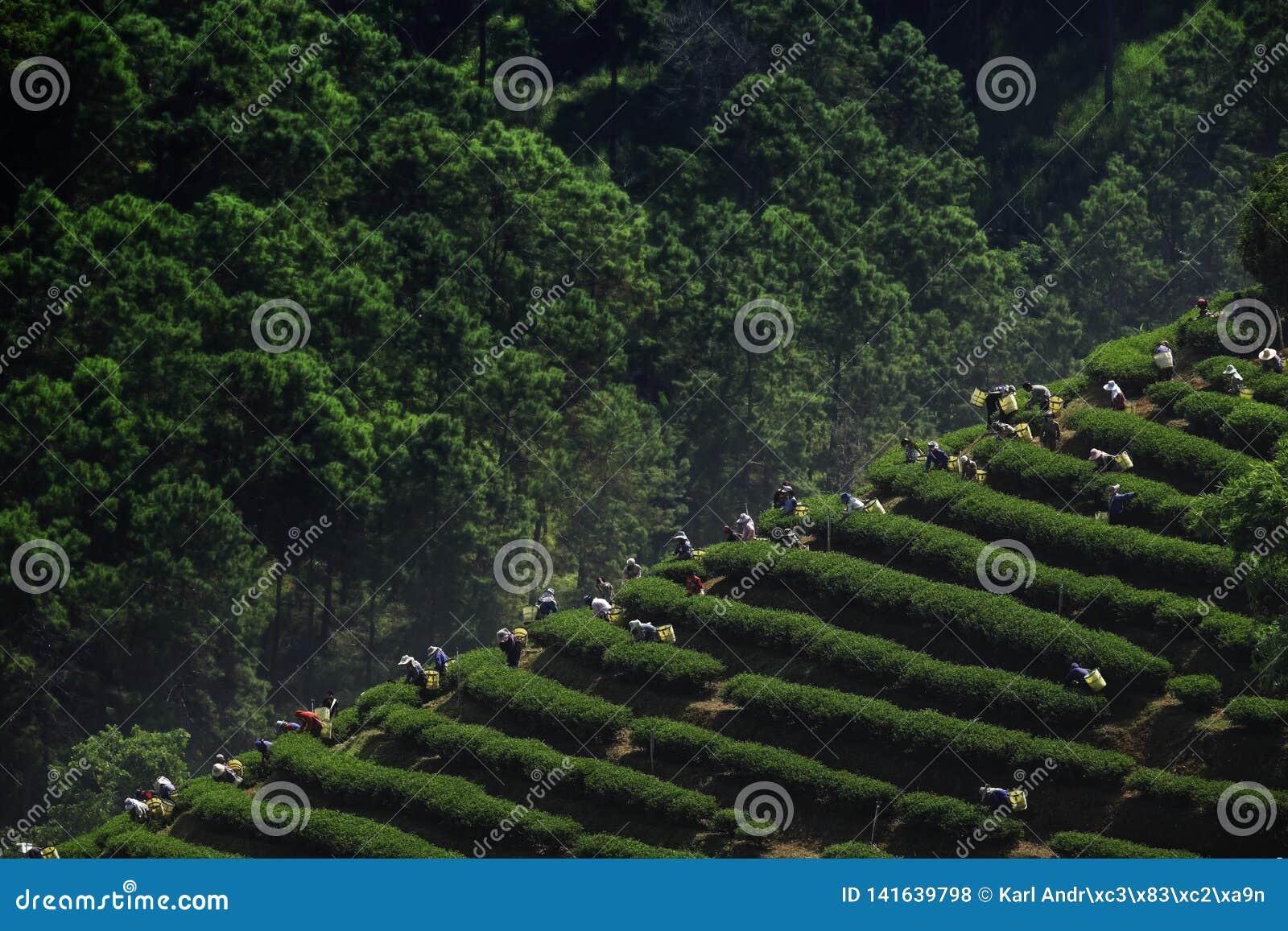 Raccolto del tè in Chiang Rai Thailand