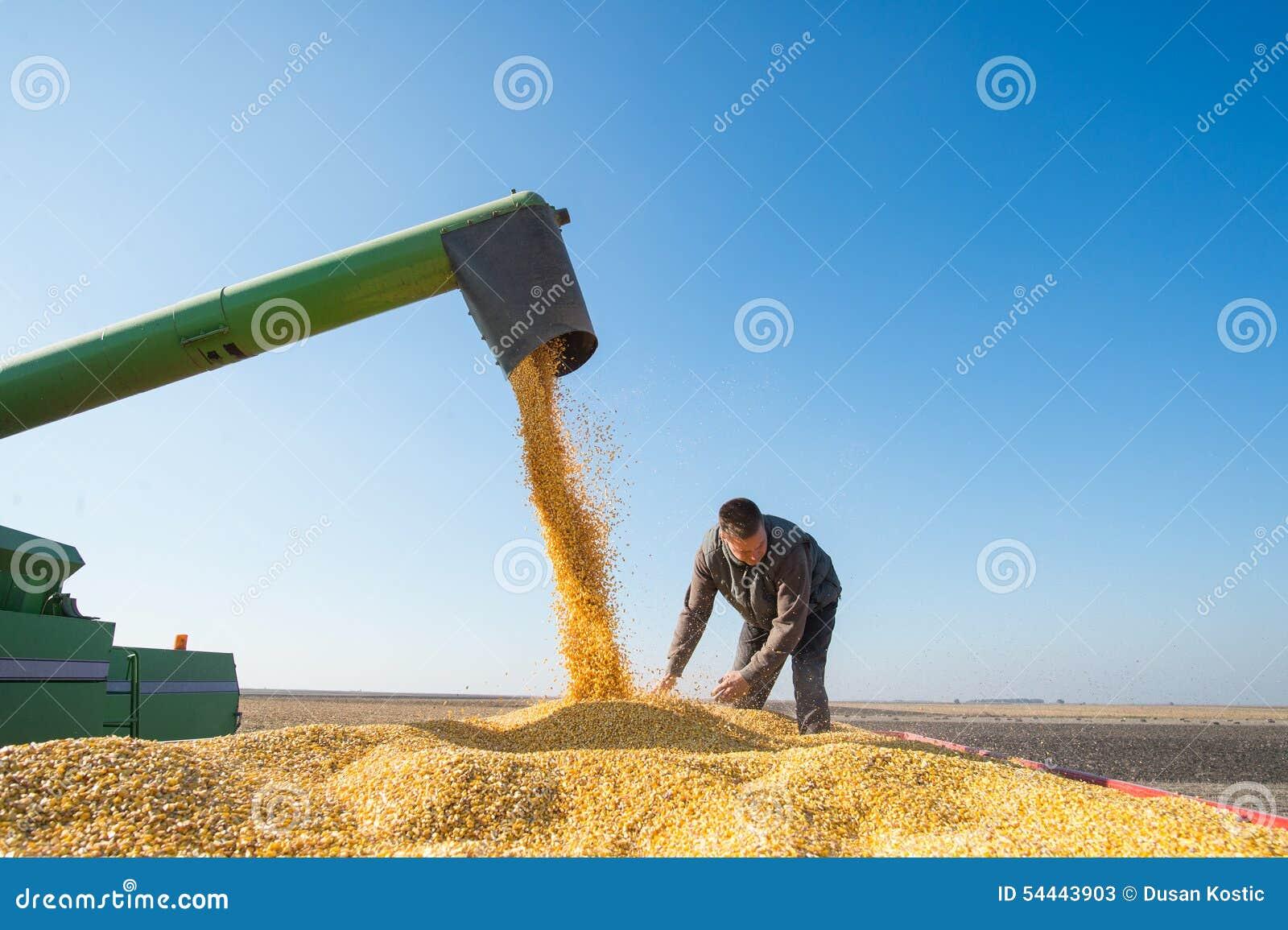Raccolto di cereale