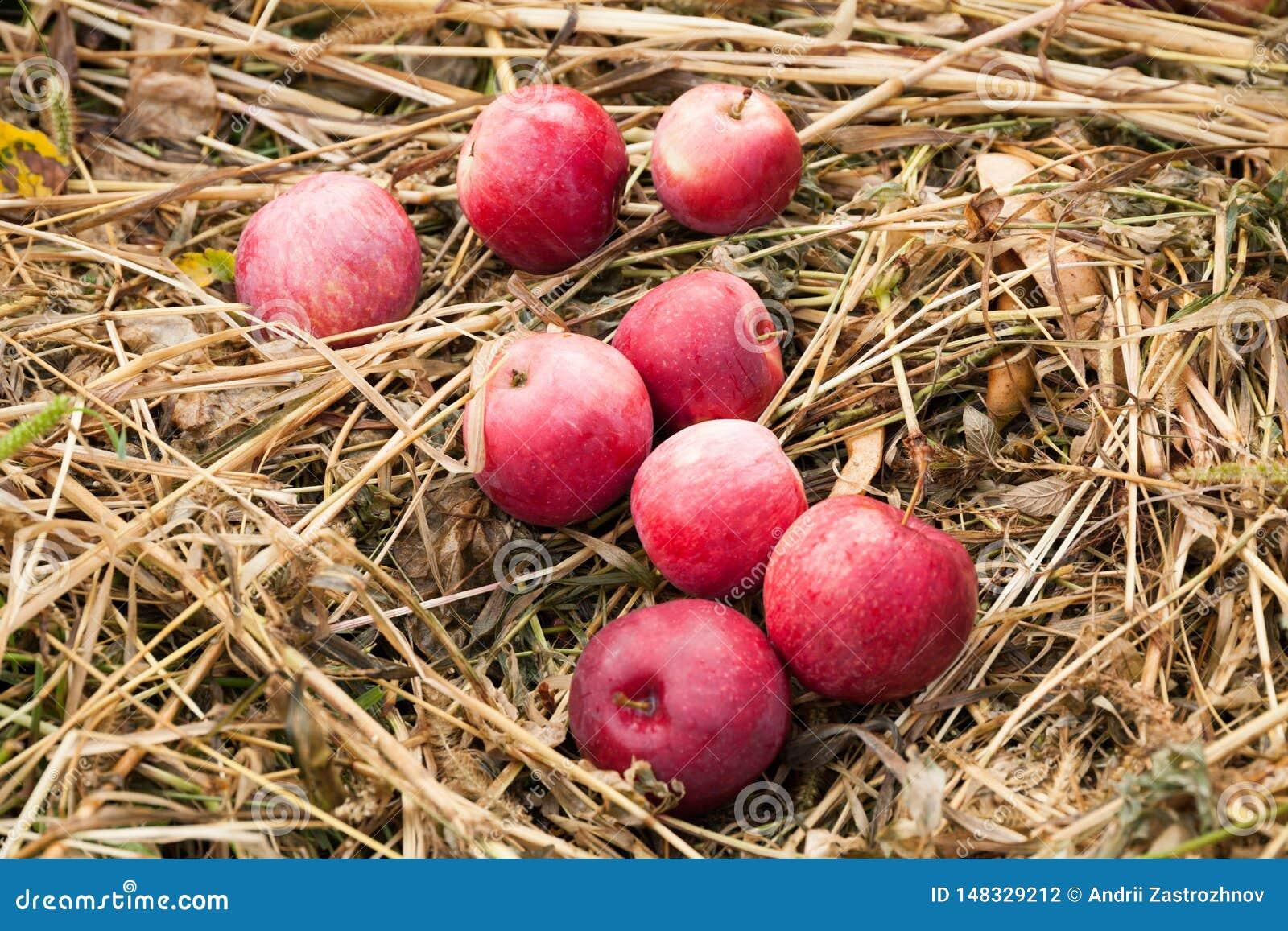 Raccolto di frutti della natura di autunno in frutteto, mele di verdura fresca