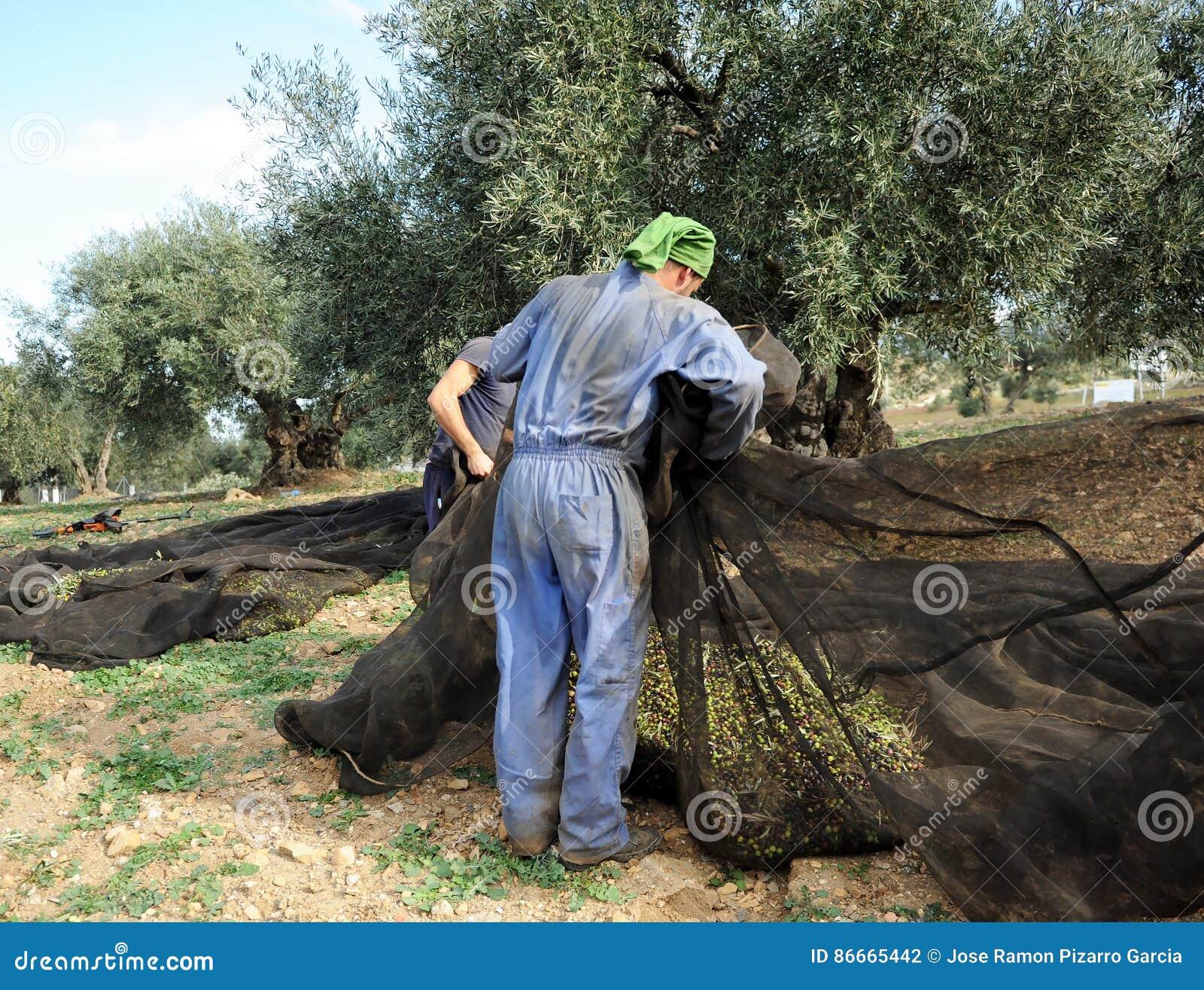 Raccolto tradizionale di di olivo a mano in Andalusia, Spagna
