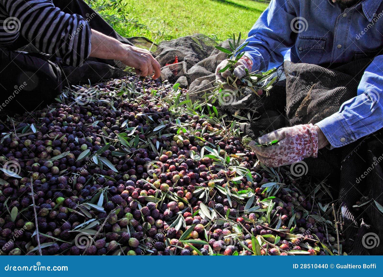 Raccolto verde oliva