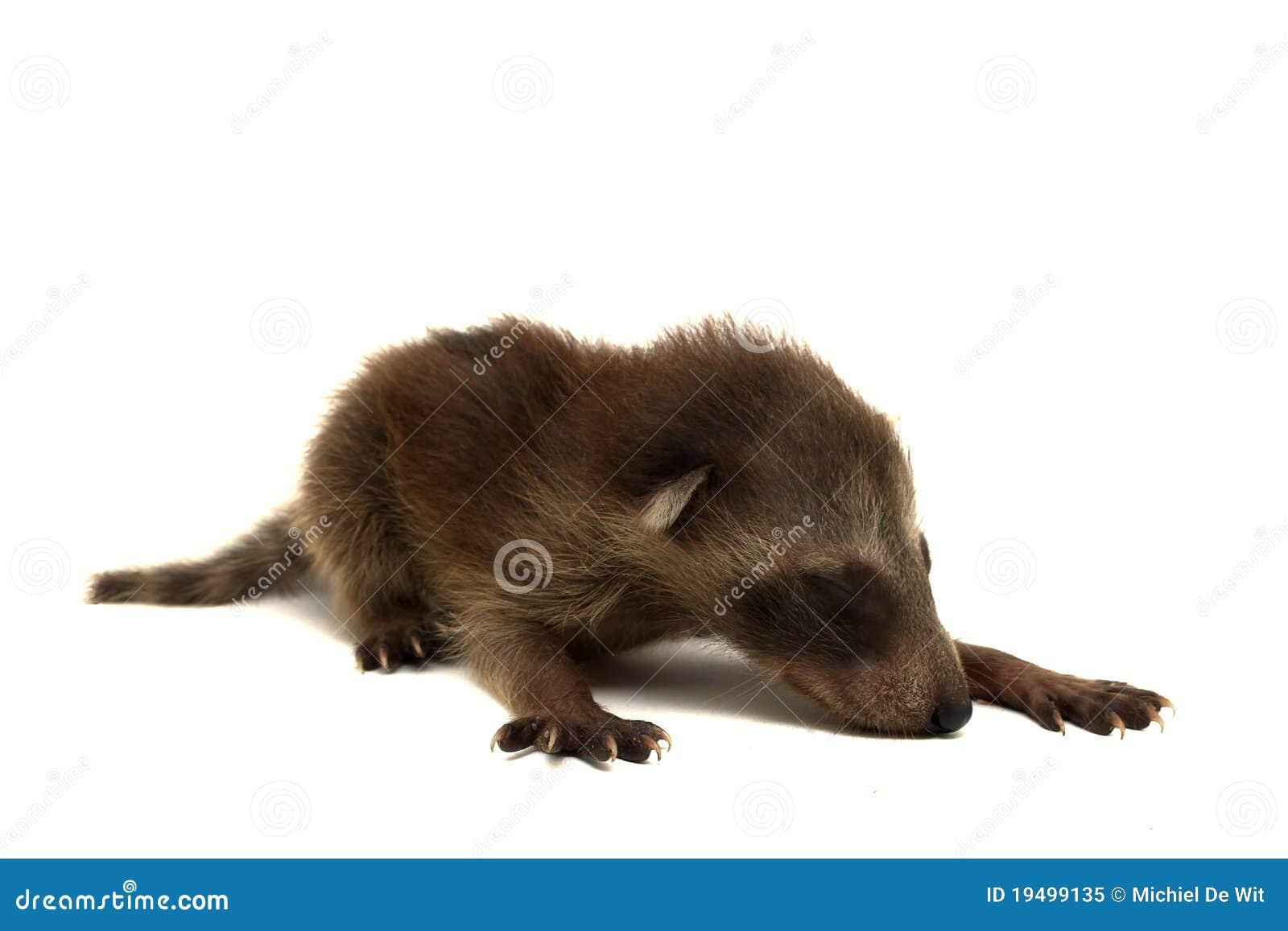 Raccoon младенца