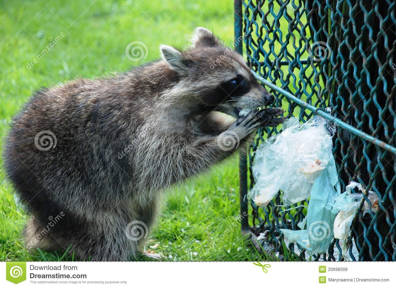 Raccoon обеда