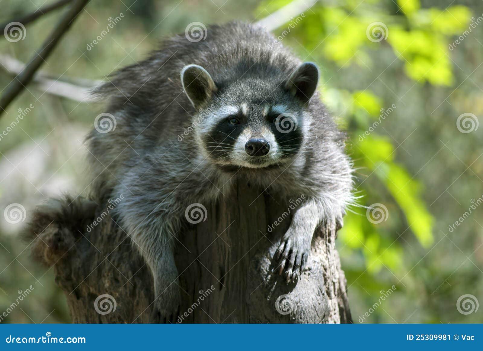 Raccoon Stock Image - Image: 25309981 Raccoon With No Hair