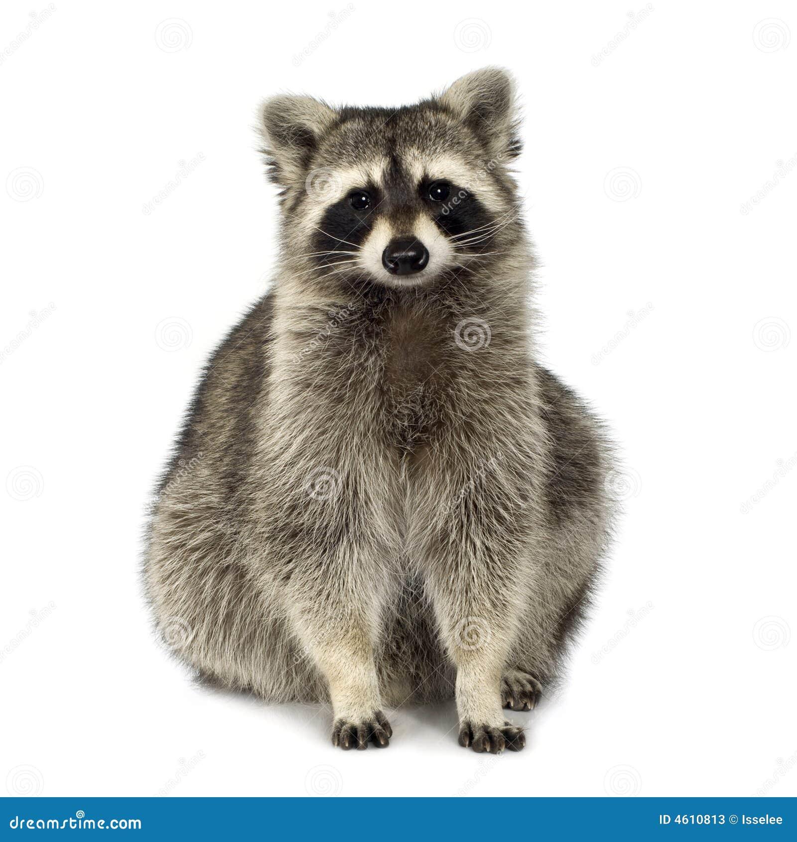 Raccoon (9 mesi) - lotor del Procyon