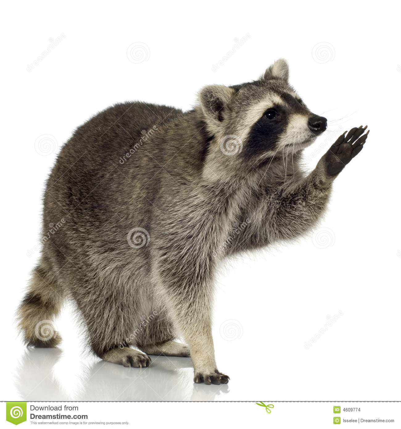free hq baby raccoon - photo #23